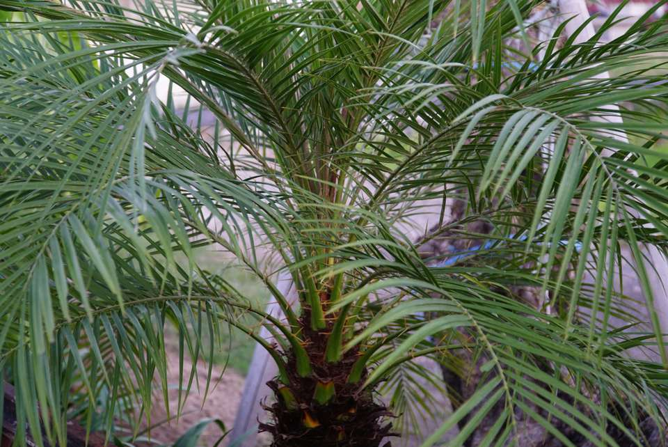 Queen palm tree with glossy arching fronds from a single trunk