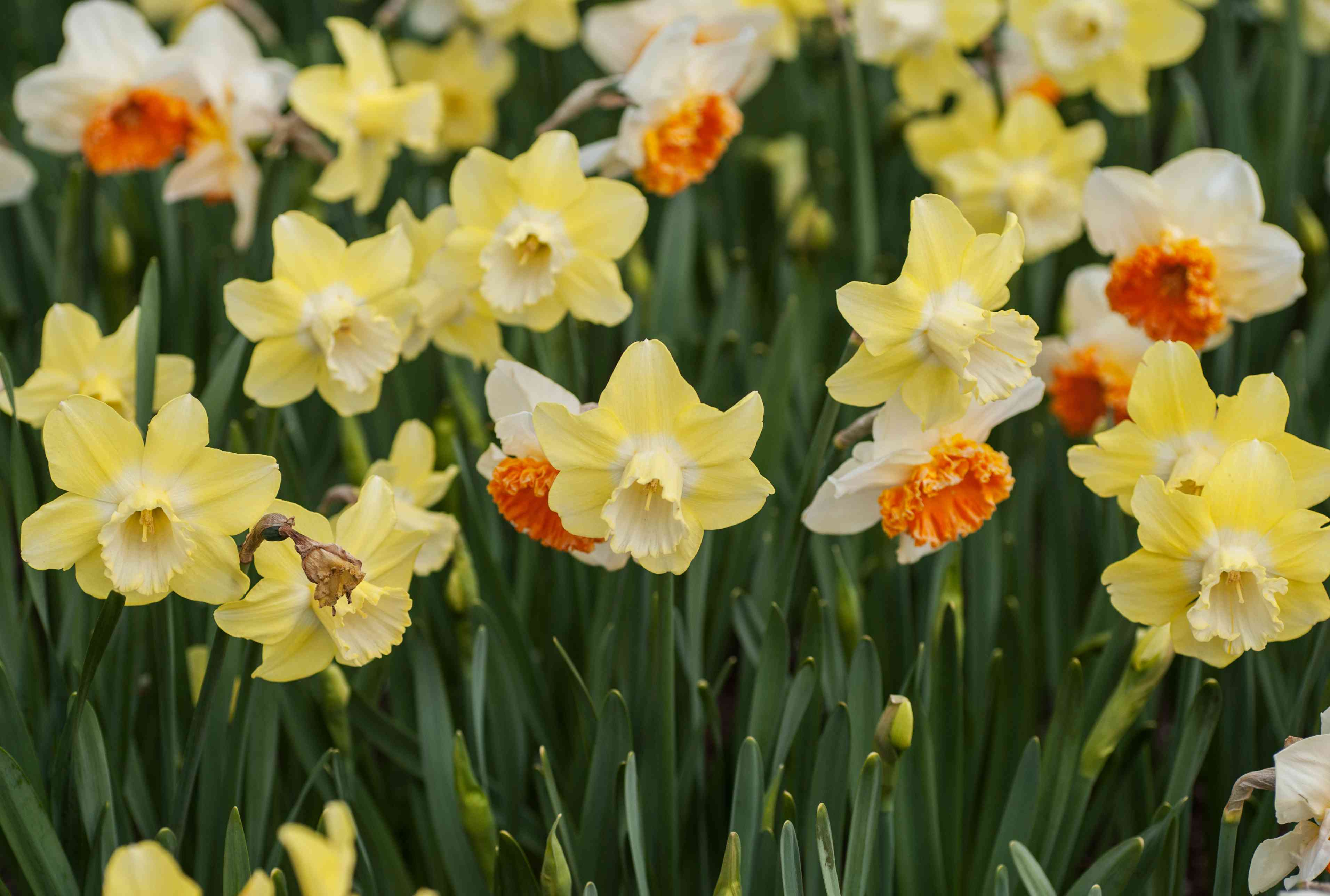 Jonquilla daffodil with yellow and white flat flowers