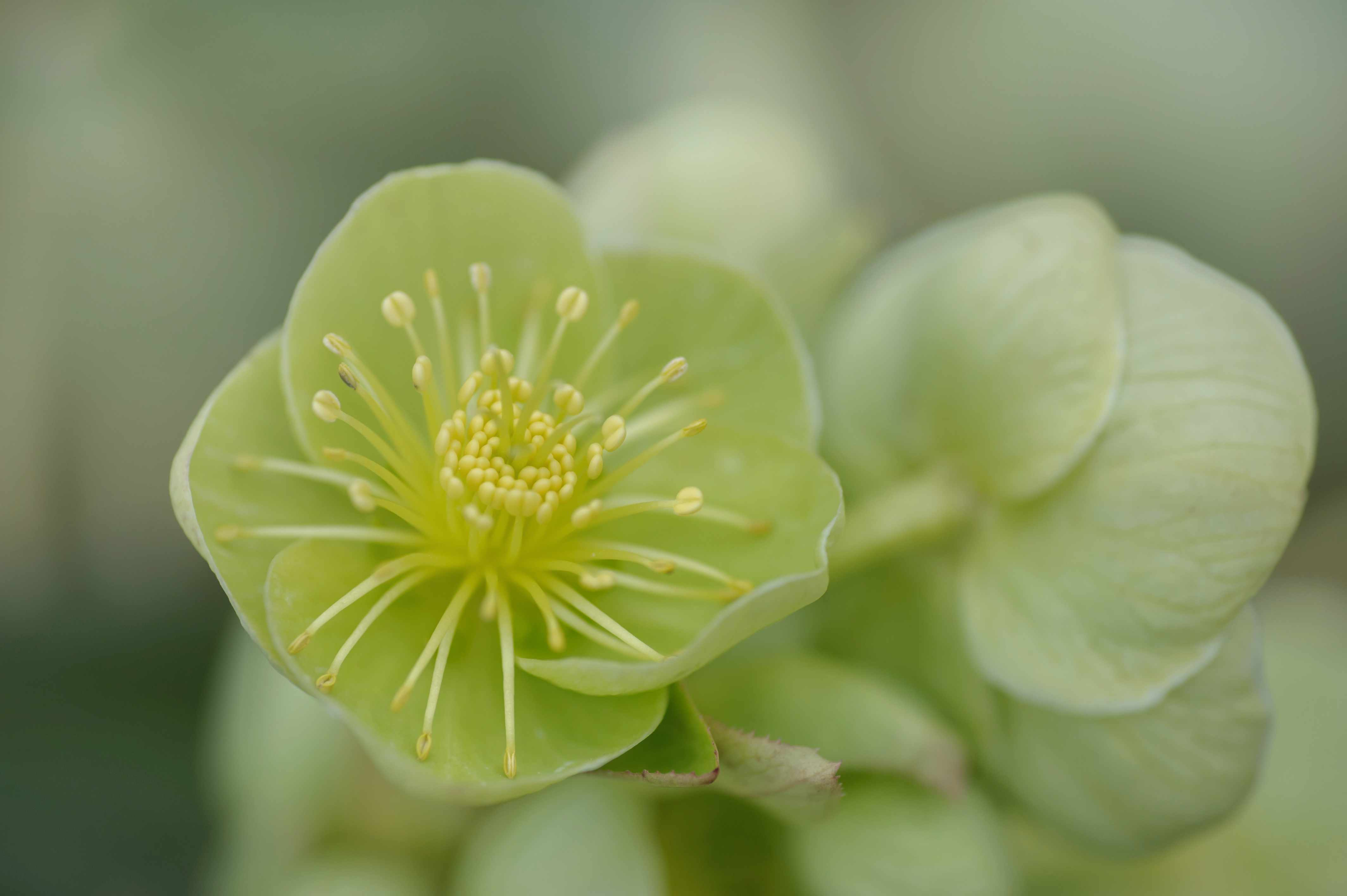 Holly-leaved hellebore with green flower closeup