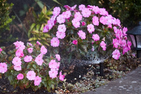 Sprinkler with pressure-vacuum breaker spraying water on pink flowers