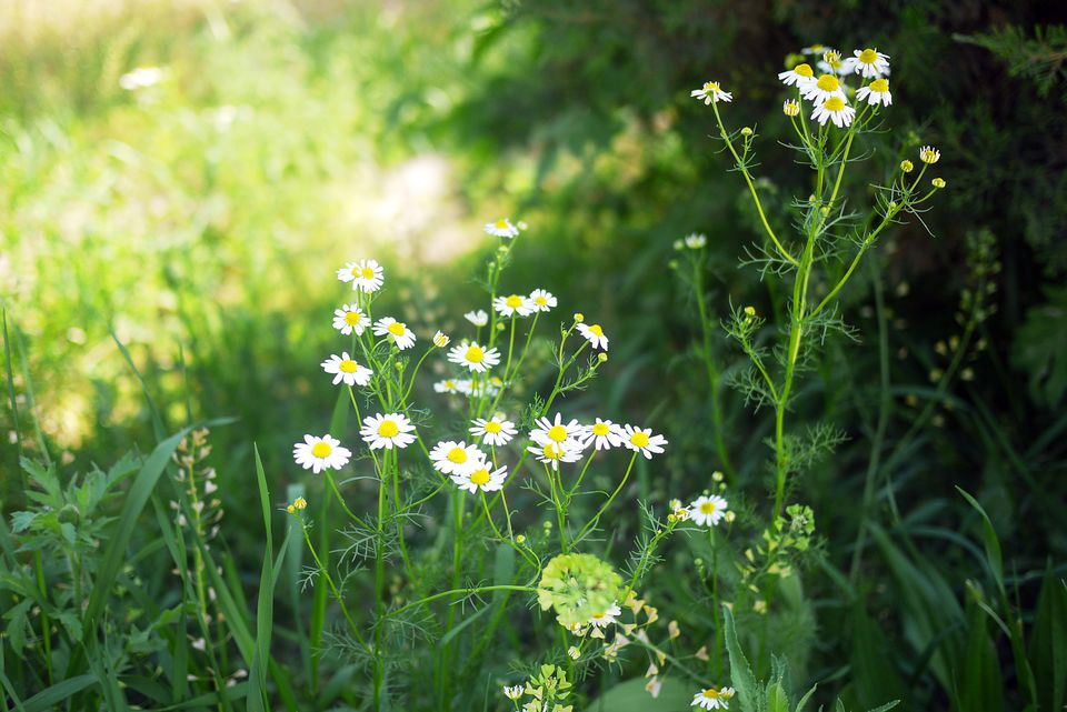Camomile flowers growing in the shade