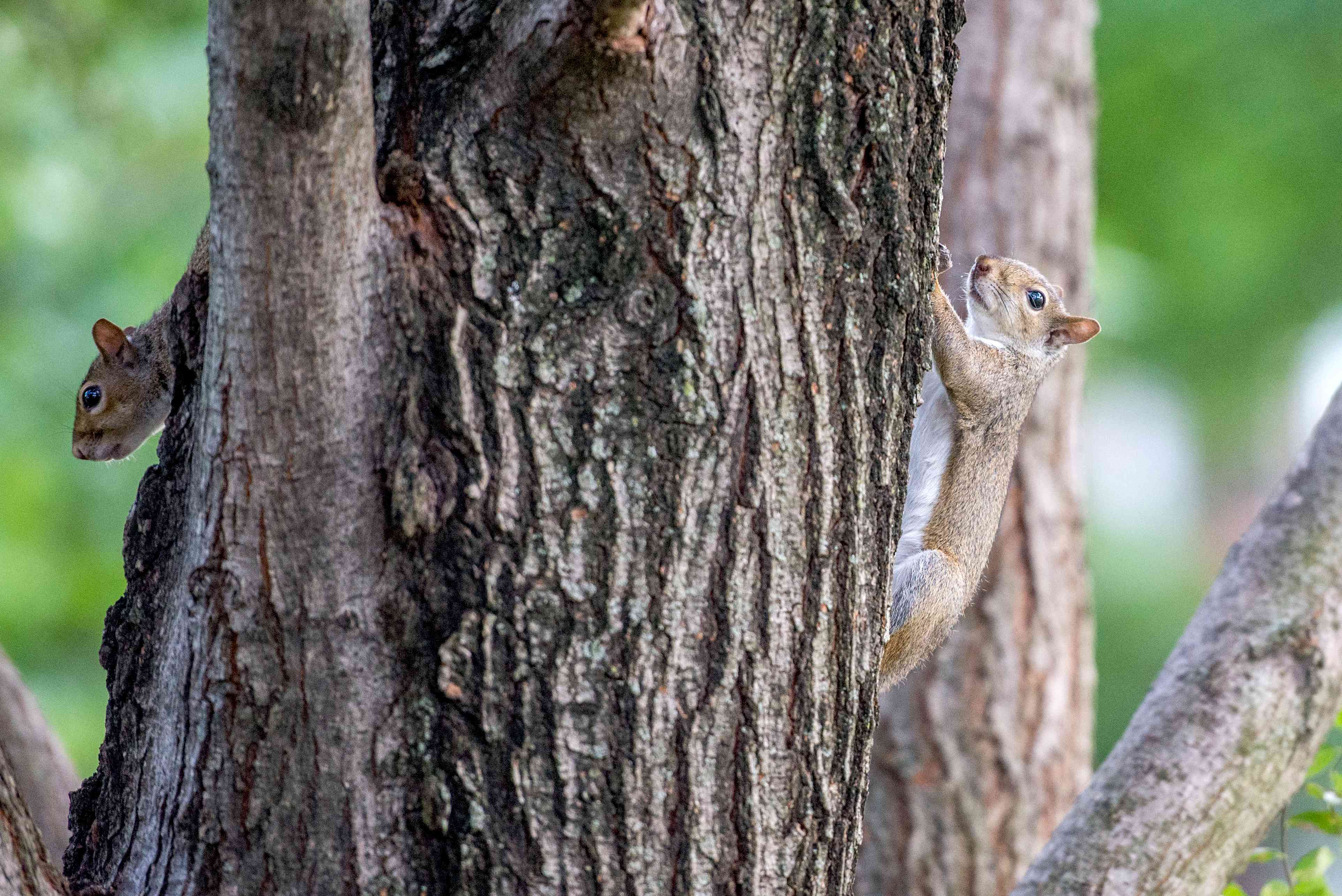 squirrels climbing a tree