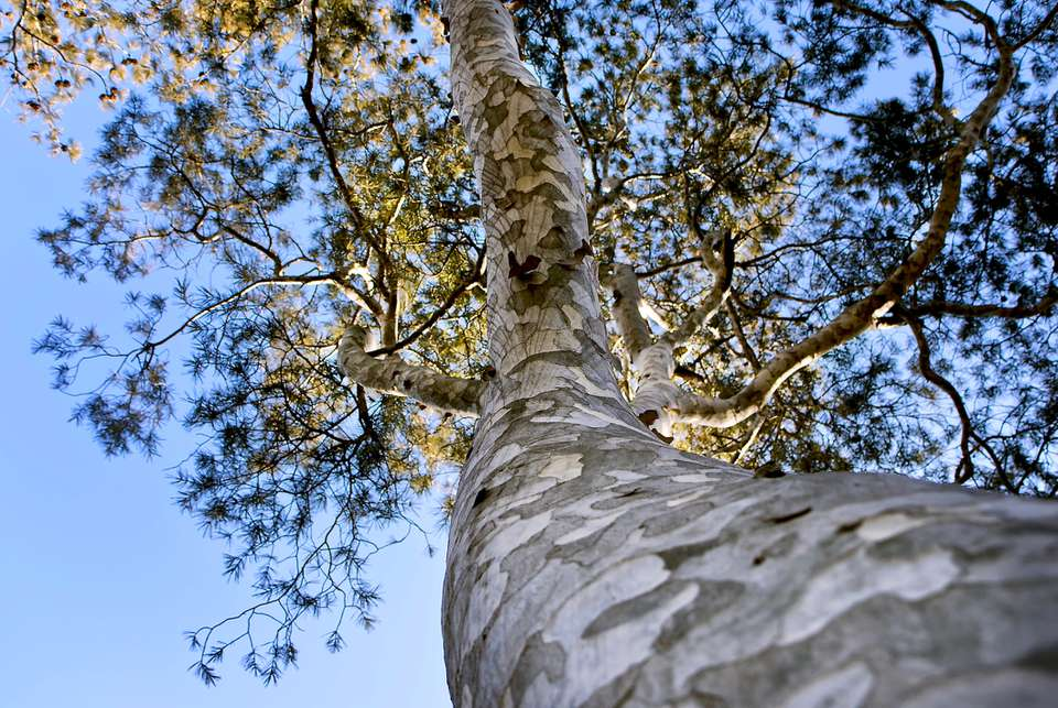 Lacebark pine (Pinus bungeana) photo from the base of the trunk upwards.