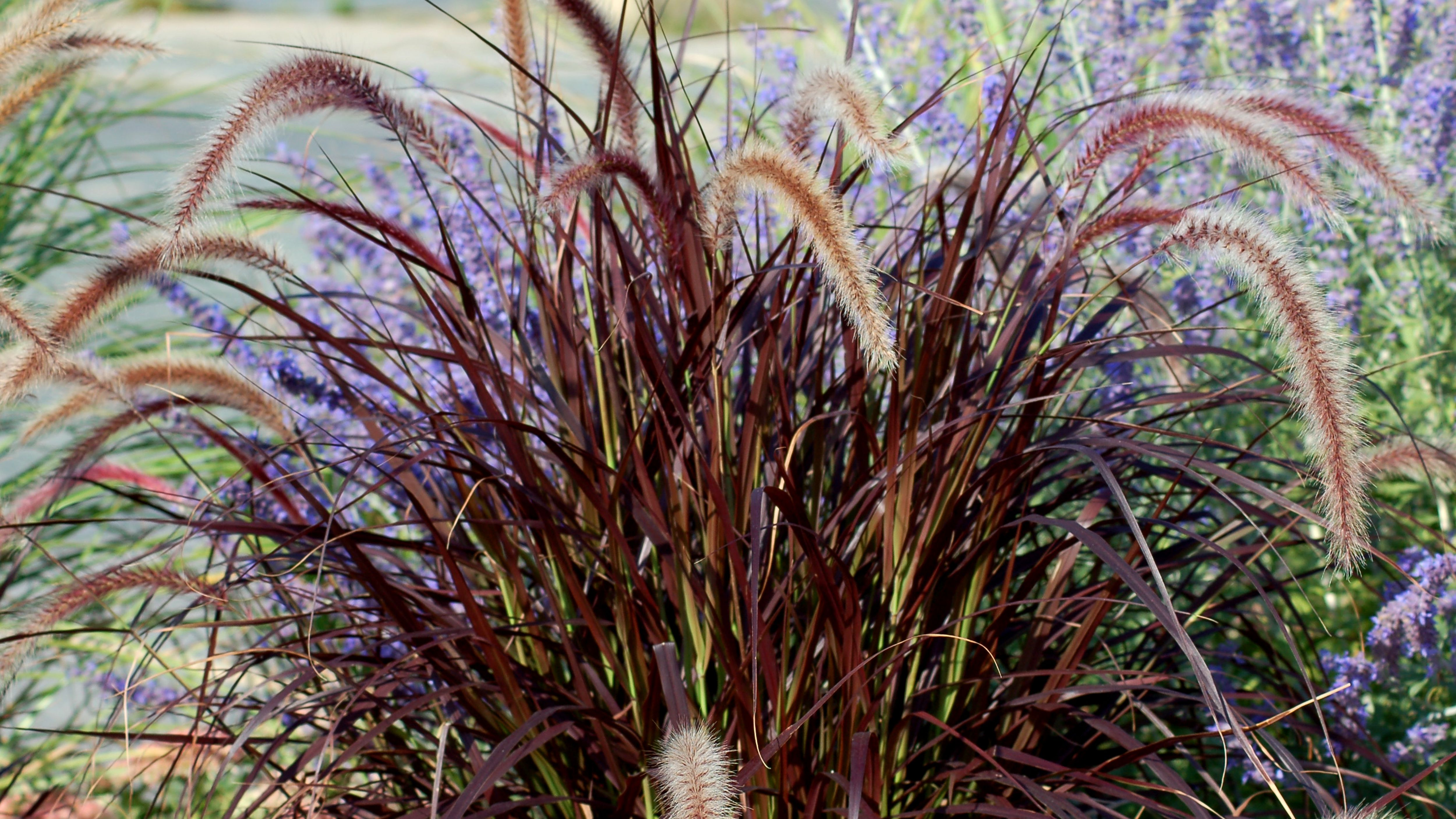 How To Grow And Care For Purple Fountain Grass