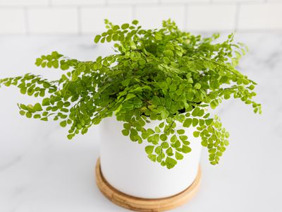 Asparagus Fern Plant Care And Growing Guide