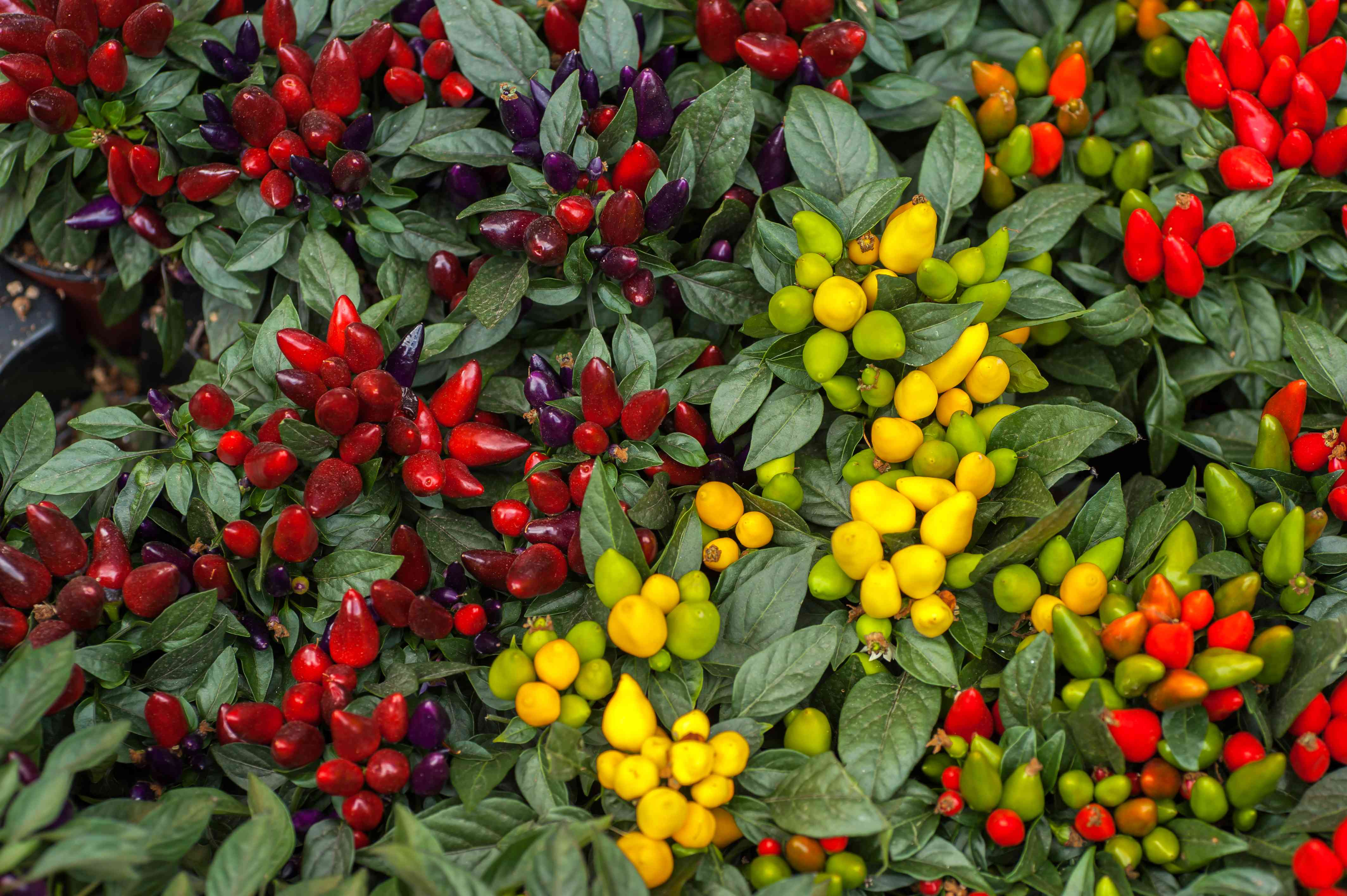 Ornamental pepper plant with small clusters of deep red, yellow and green peppers