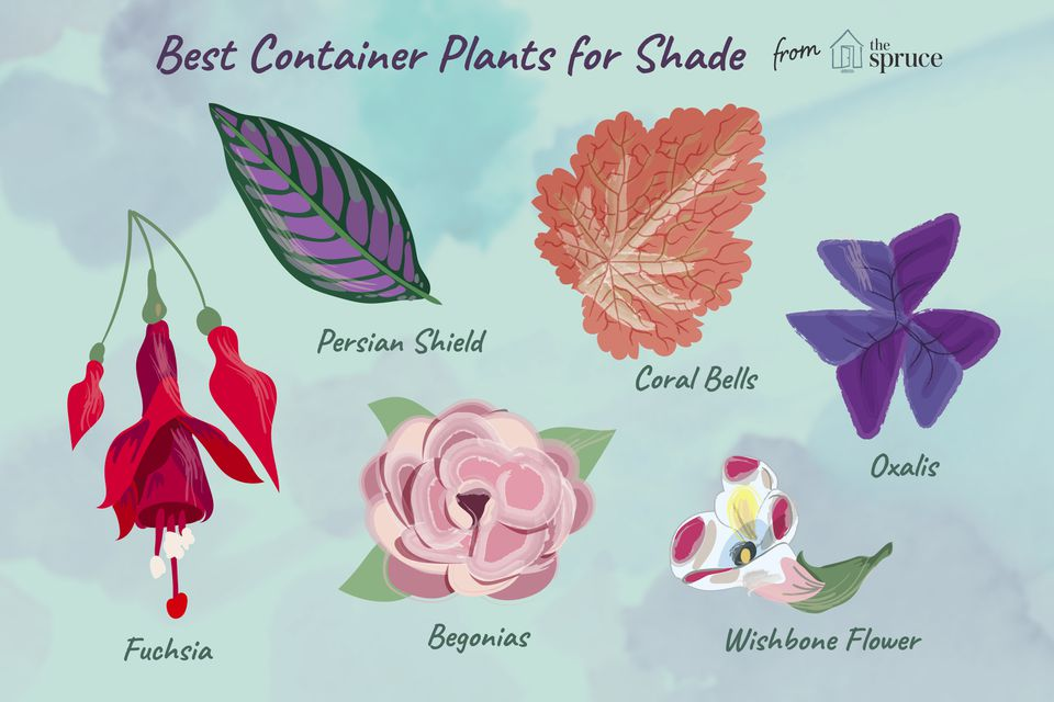 Illustration of best container plants for the shade