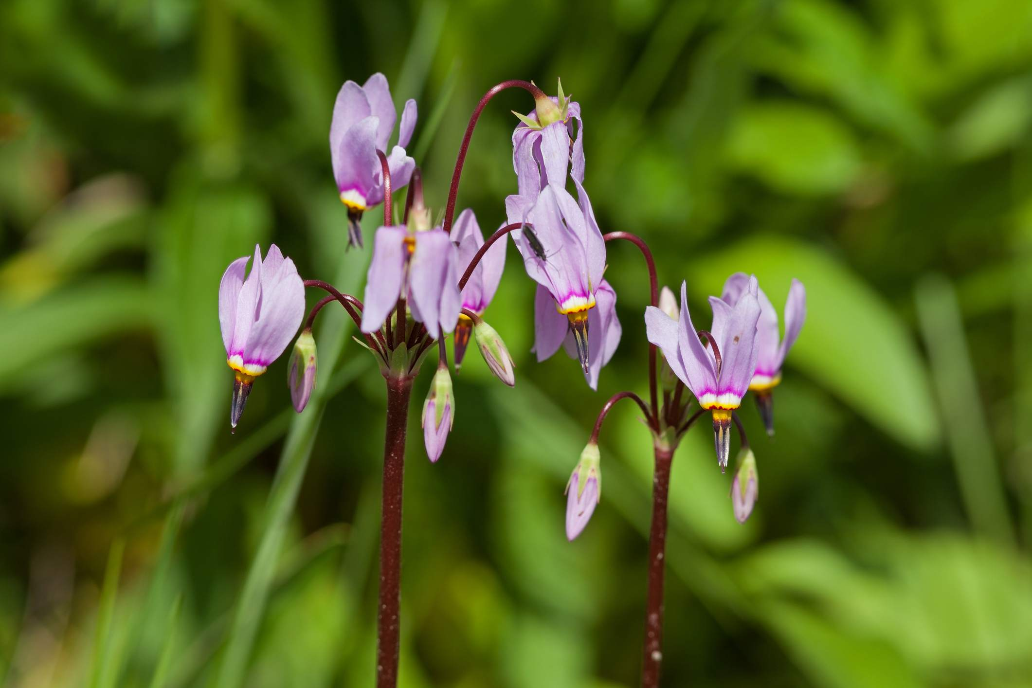 Shootingstar (Dodecatheon pulchellum)