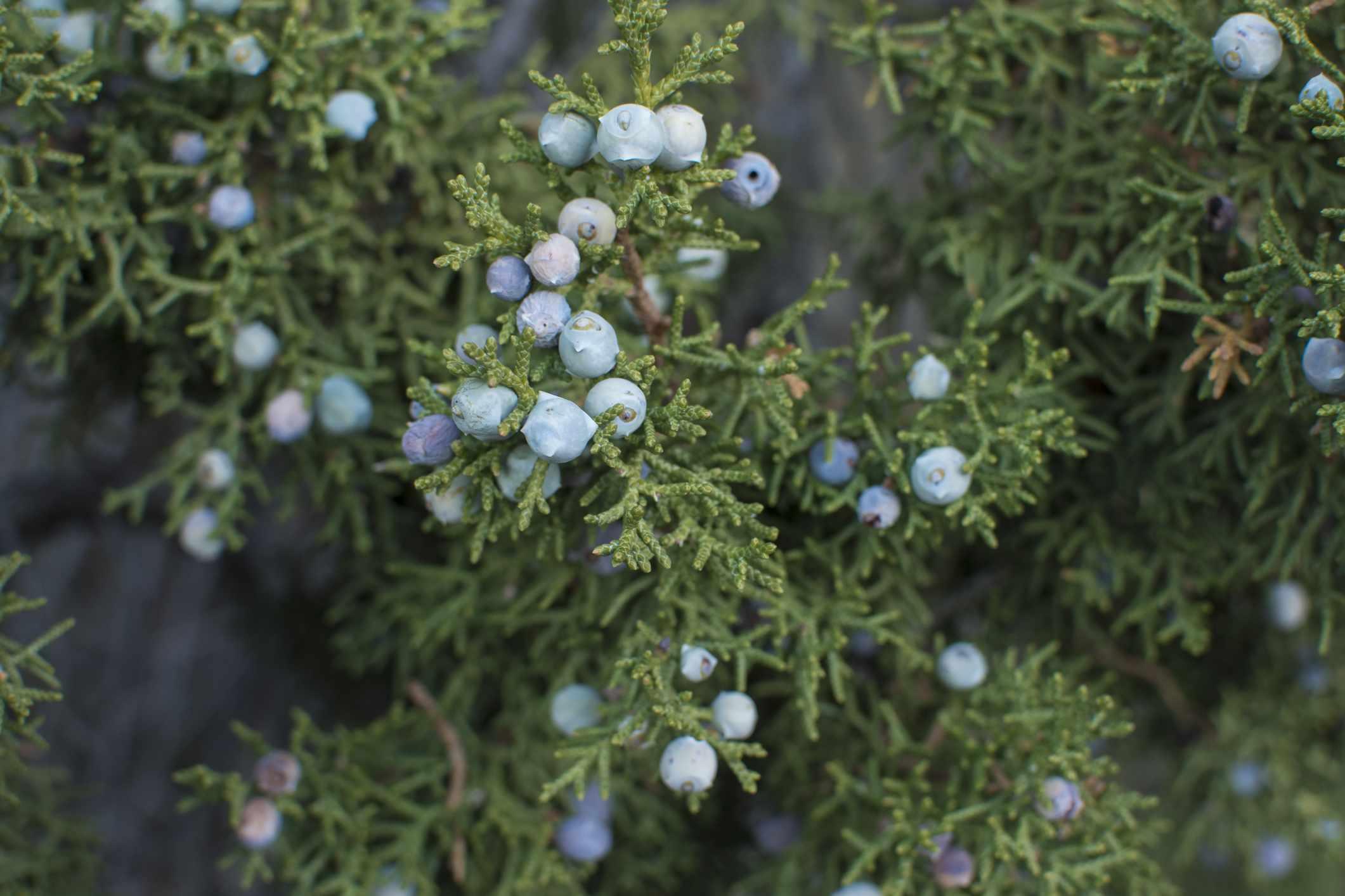 Close up of California Juniper Tree berries