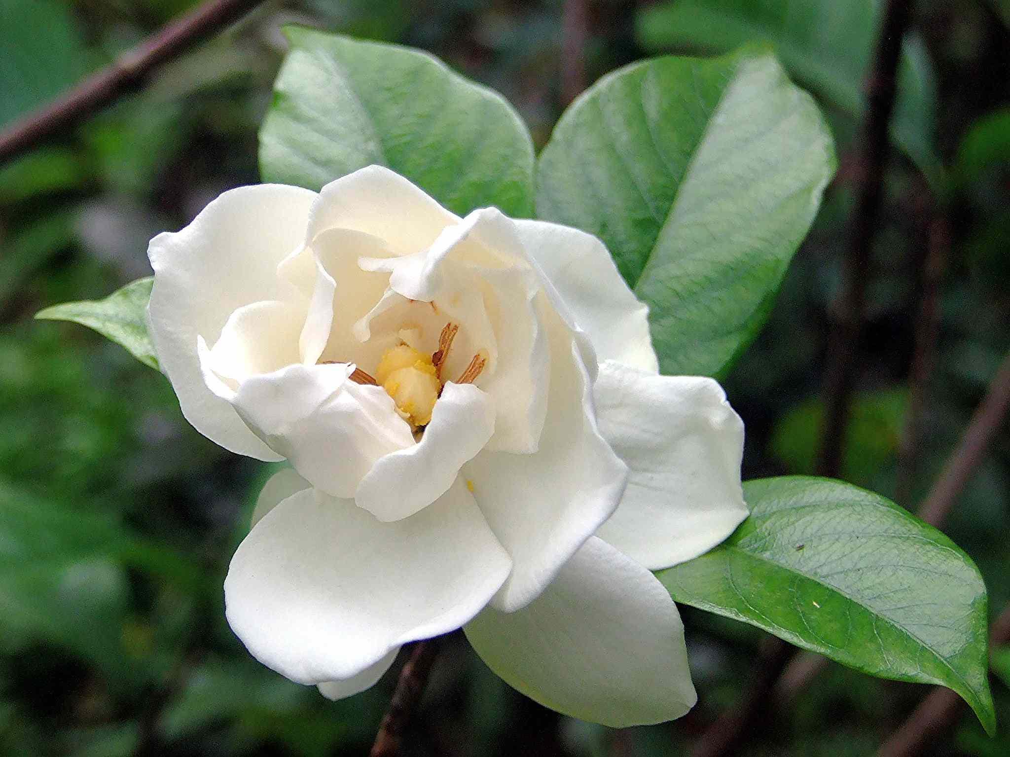 Gardenia jasminoides 'Fortuniana'