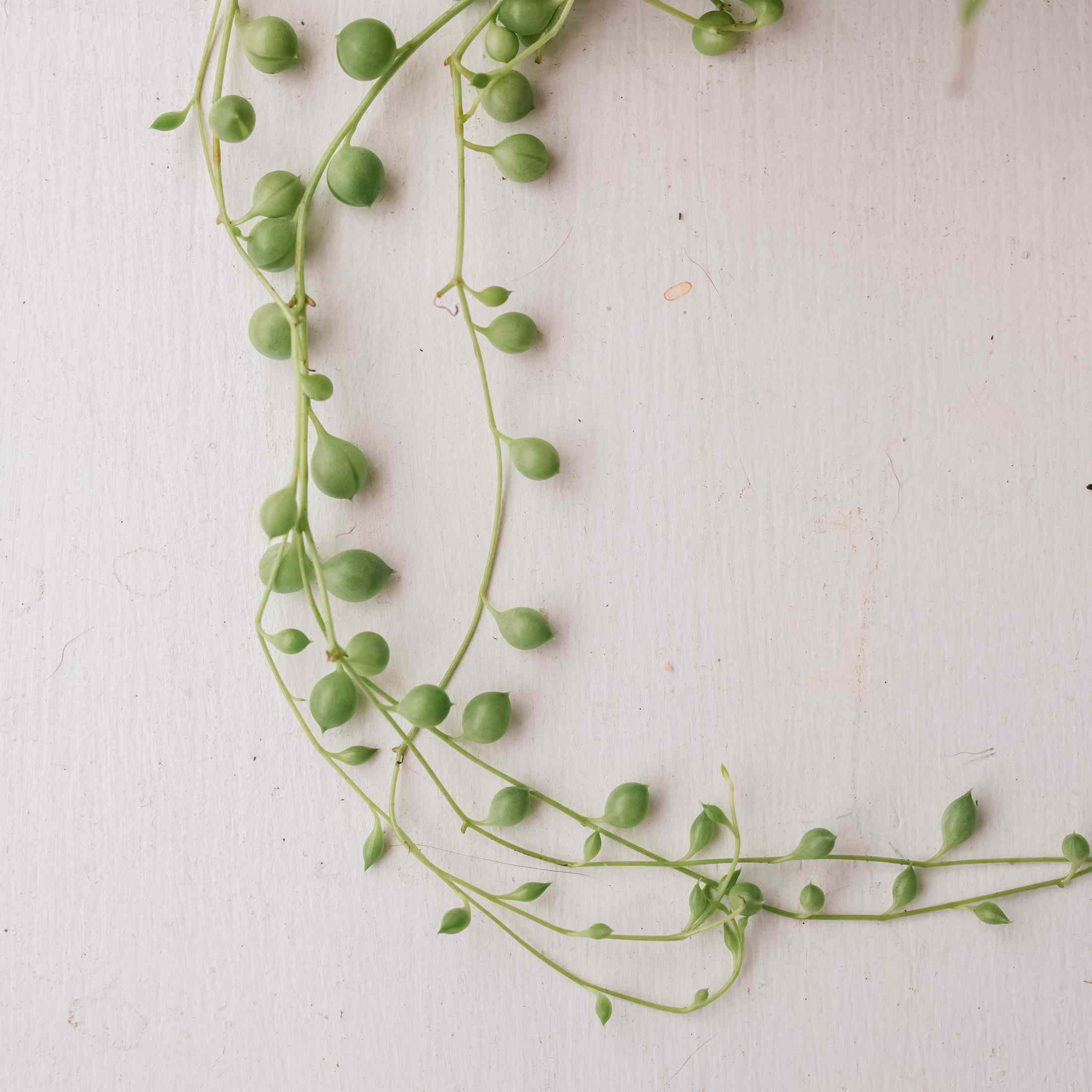 String Of Pearls Plant Care And Growing Guide