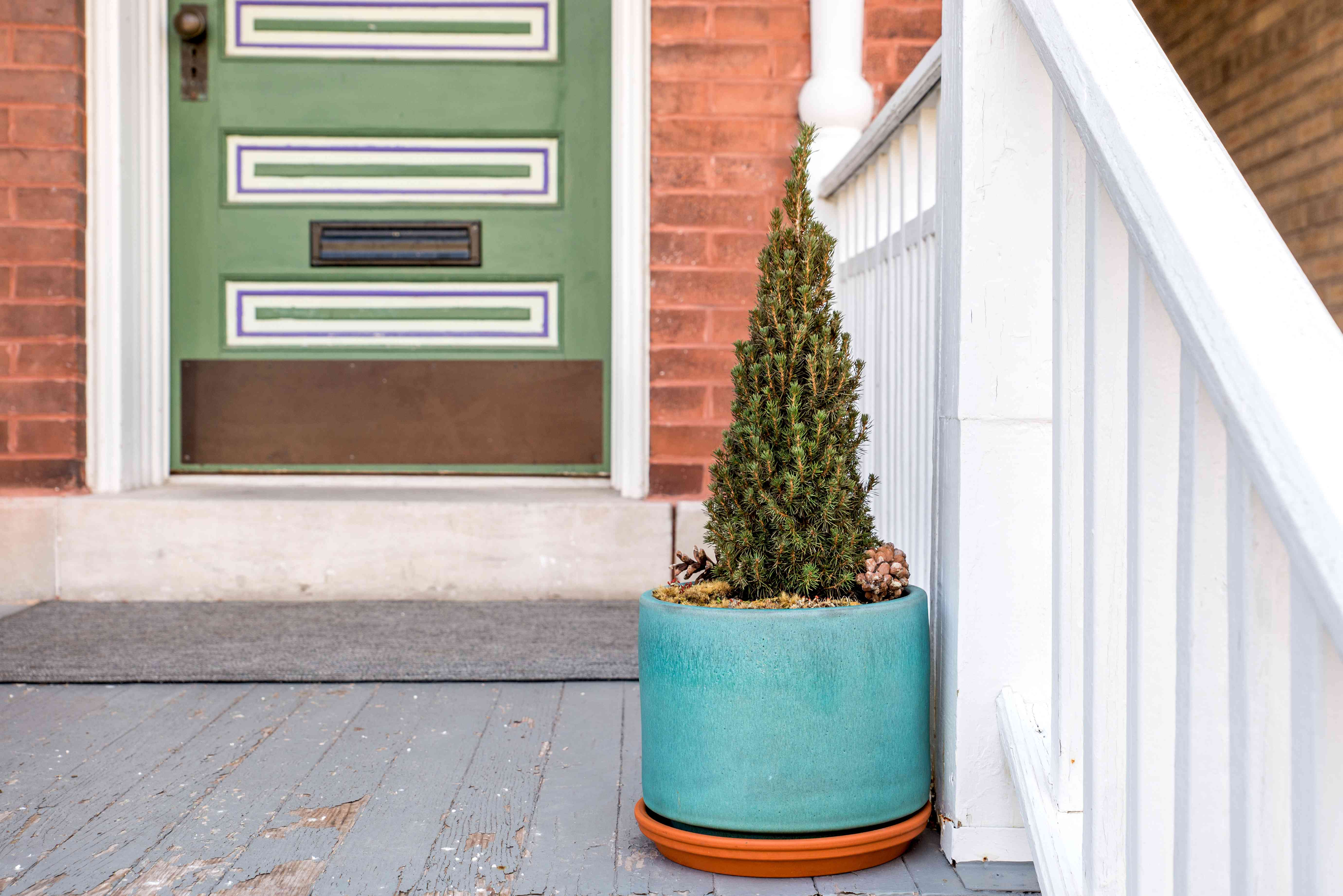potted Alberta spruce on a front porch