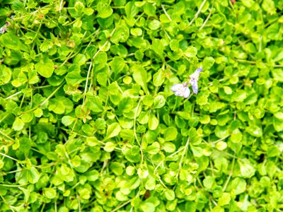 Creeping mazus ground cover with circular bright green leaves and small purple flower