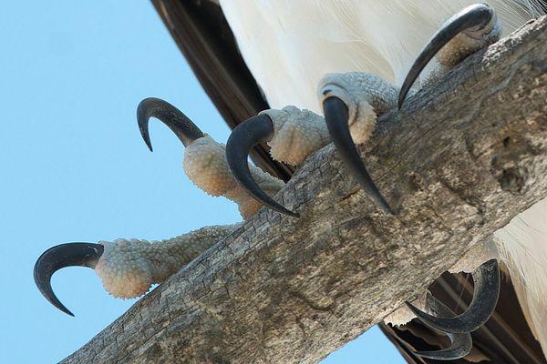 Osprey Talons