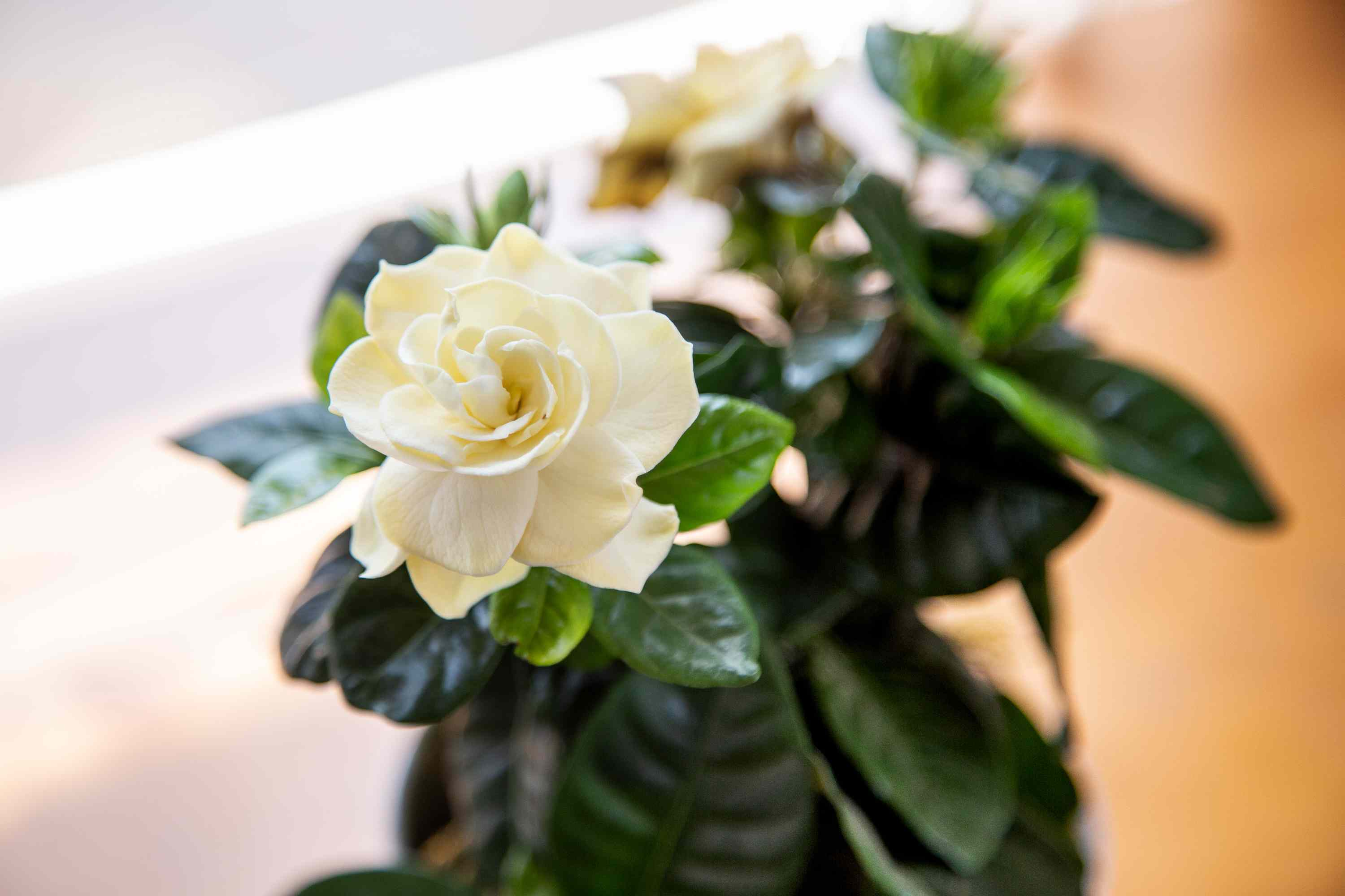 Gardenia plant with cream white flowers surrounded by glossy green leaves