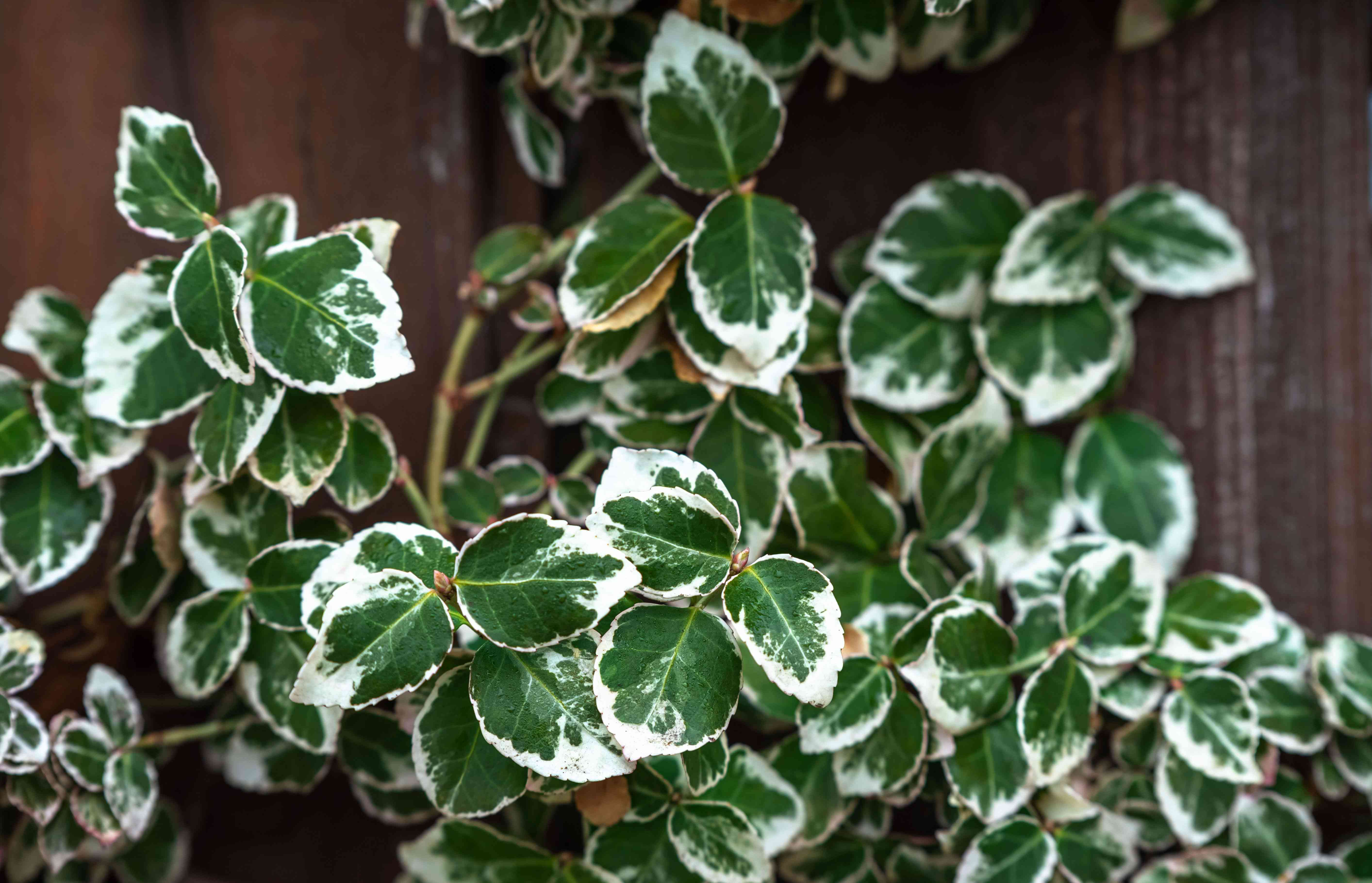 Emerald gaiety shrub with green and white leaves growing as vine