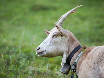 The Benefits of Raising Goats on a Small Farm