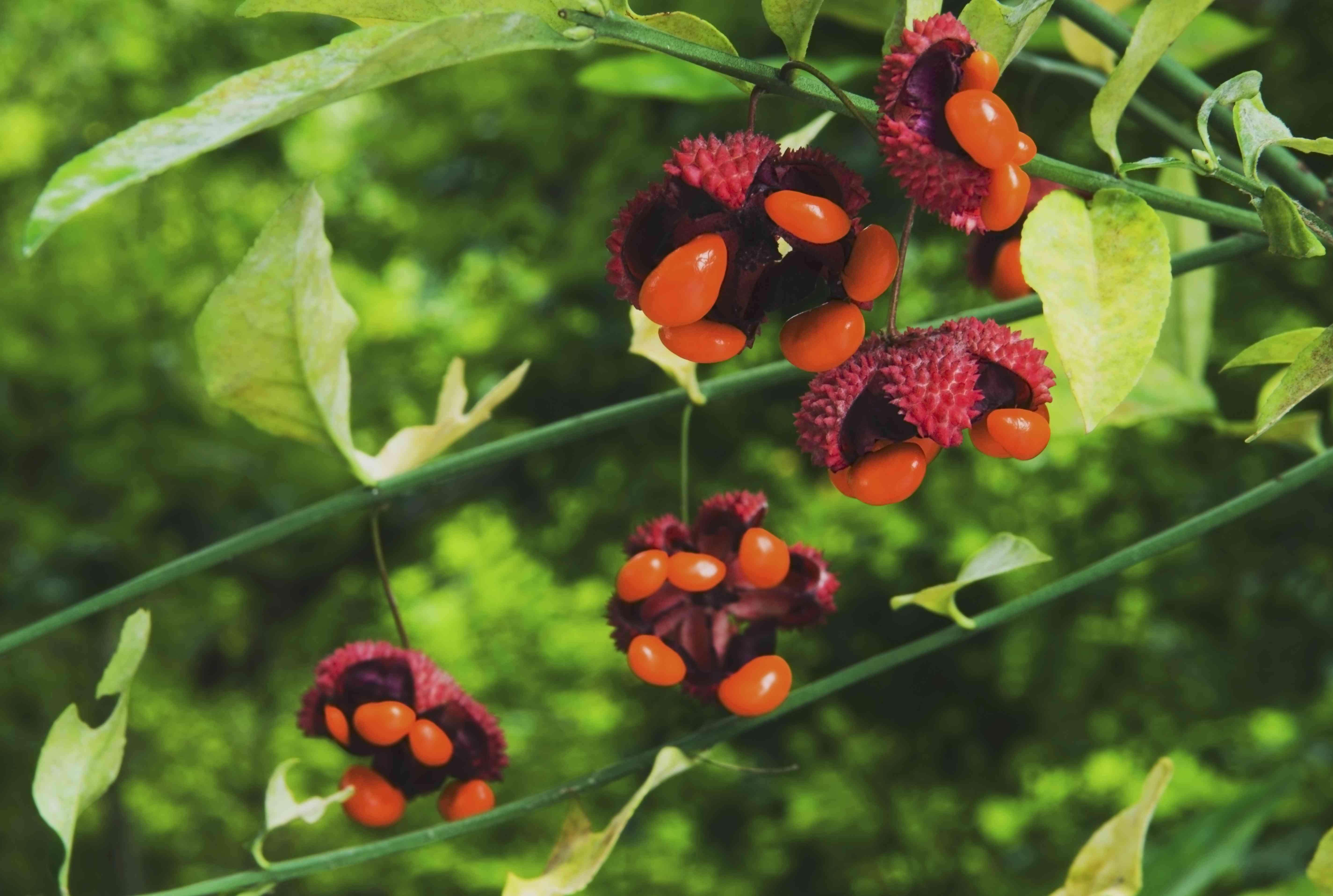 Bursting Hearts (Euonymus Americanus) Fruit Breaking Open In The Fall