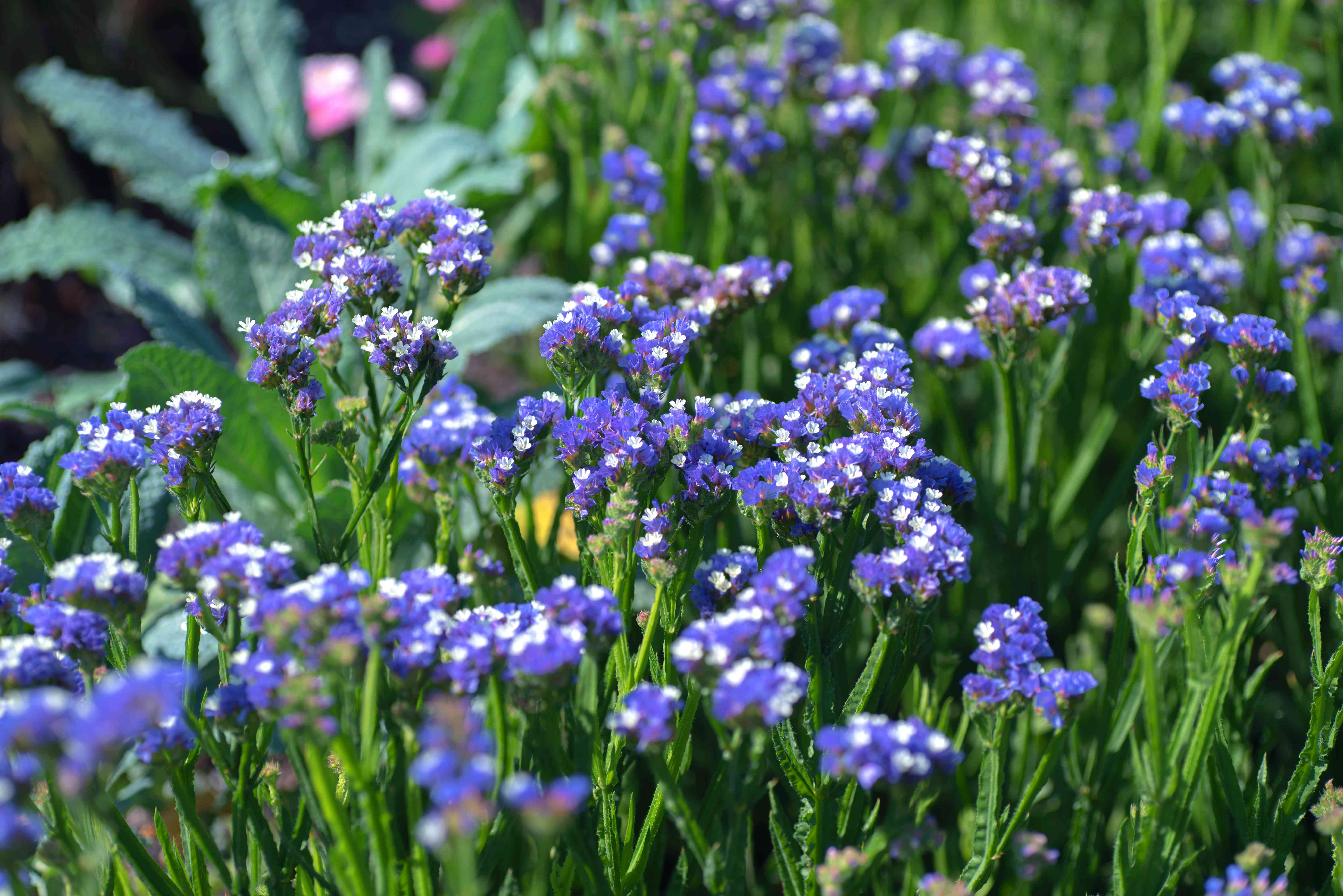 Sea lavender flowers