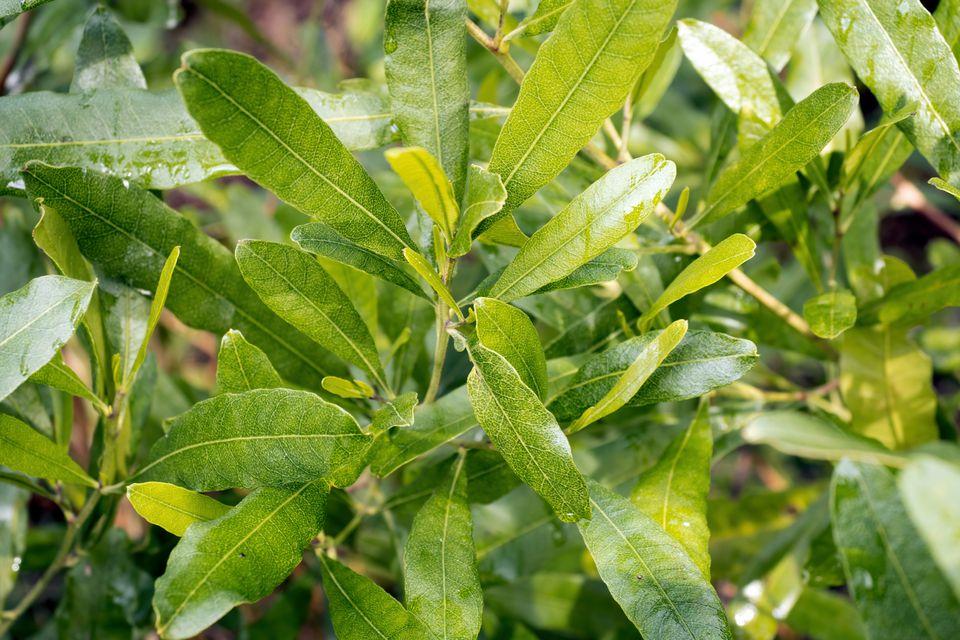 Hopbush shrub with shiny narrow and bright green leaves closeup