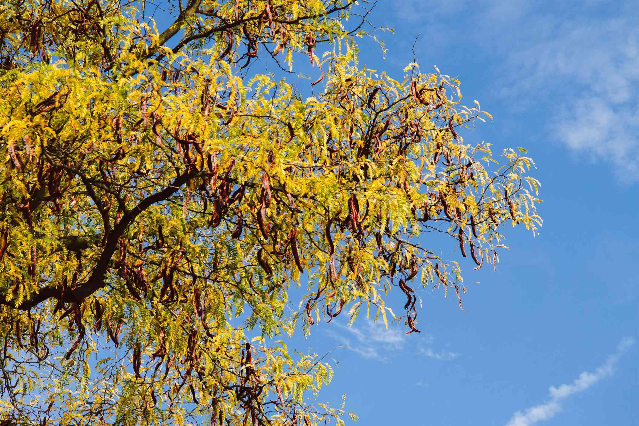 Honey Locust in Autumn