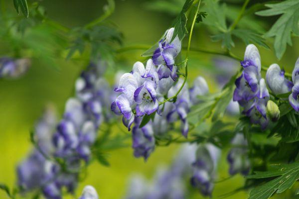 Monk's hood flowers