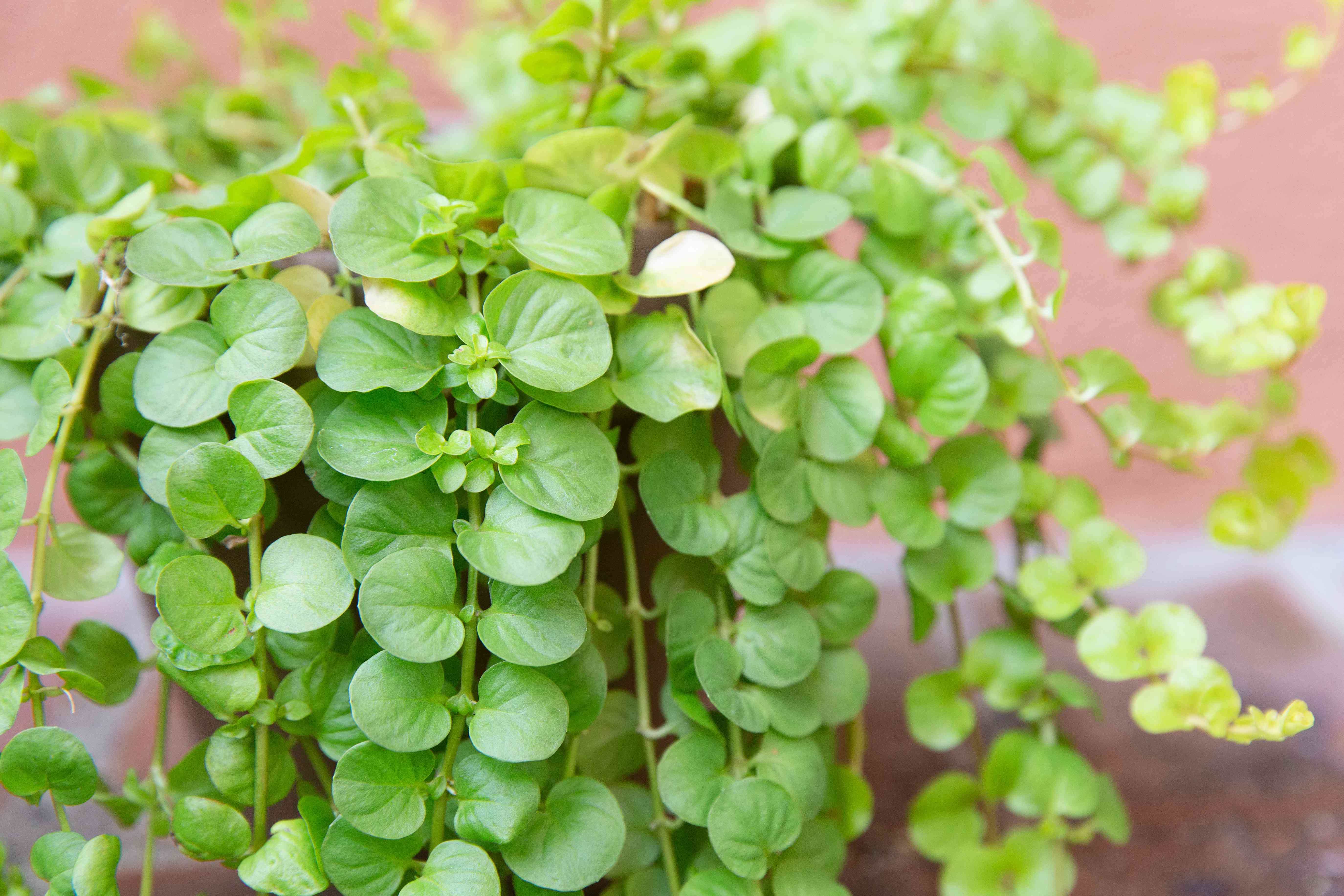 closeup of creeping jenny showing new growth