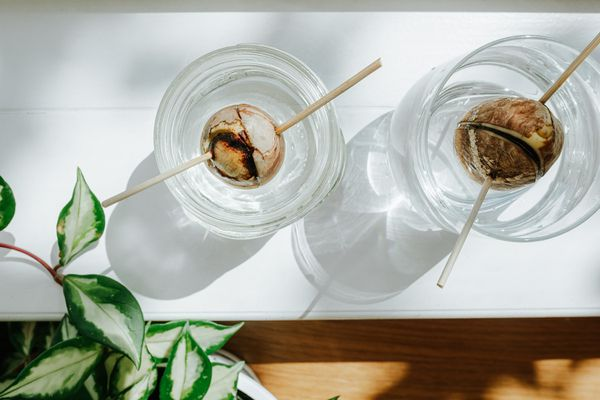 avocado pits in jars of water