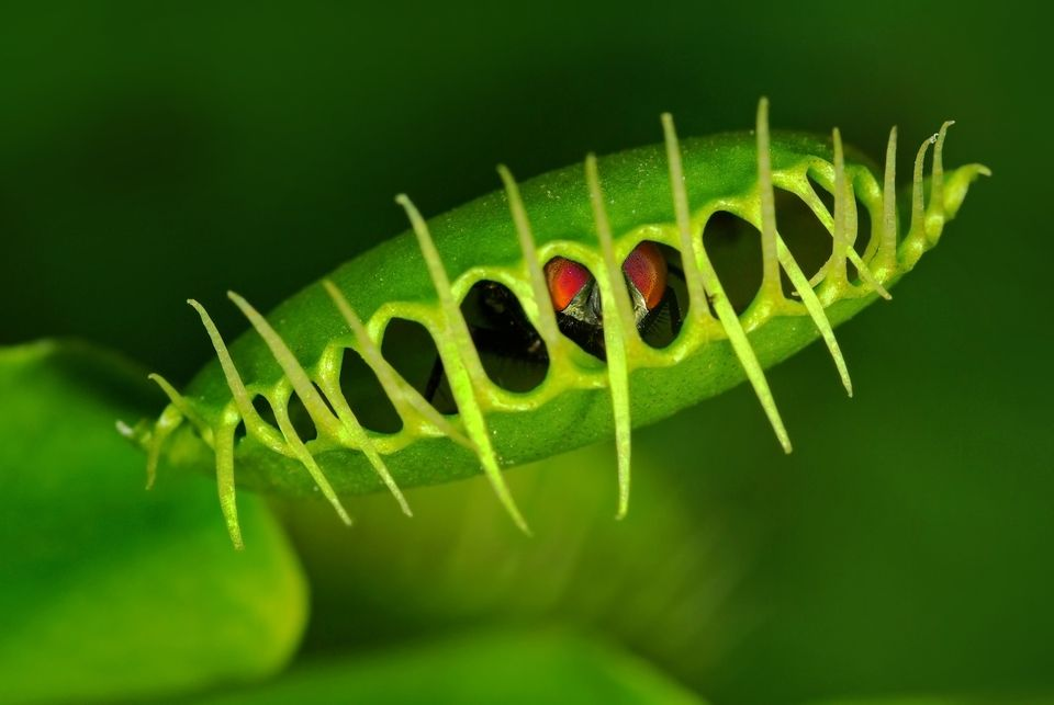 Fly caught in a Venus flytrap plant.