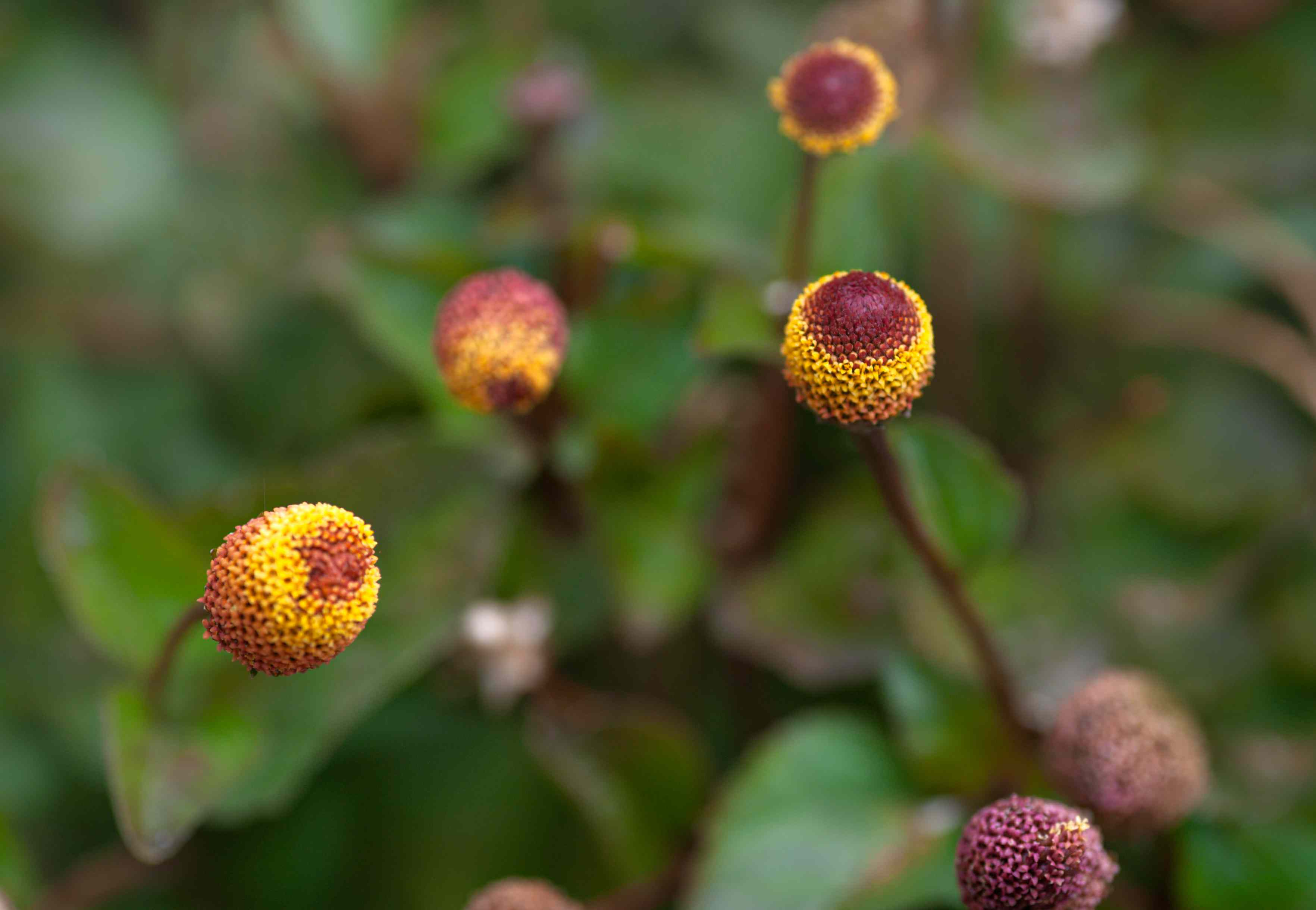 Eyeball plant with yellow and burgundy disk florets on thin stem closeup