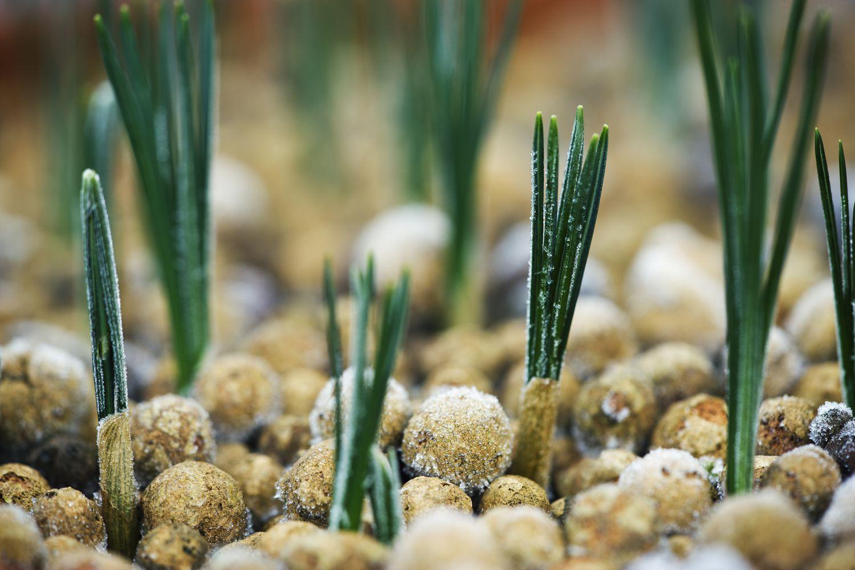 How To Grow Crocus Bulbs Corms
