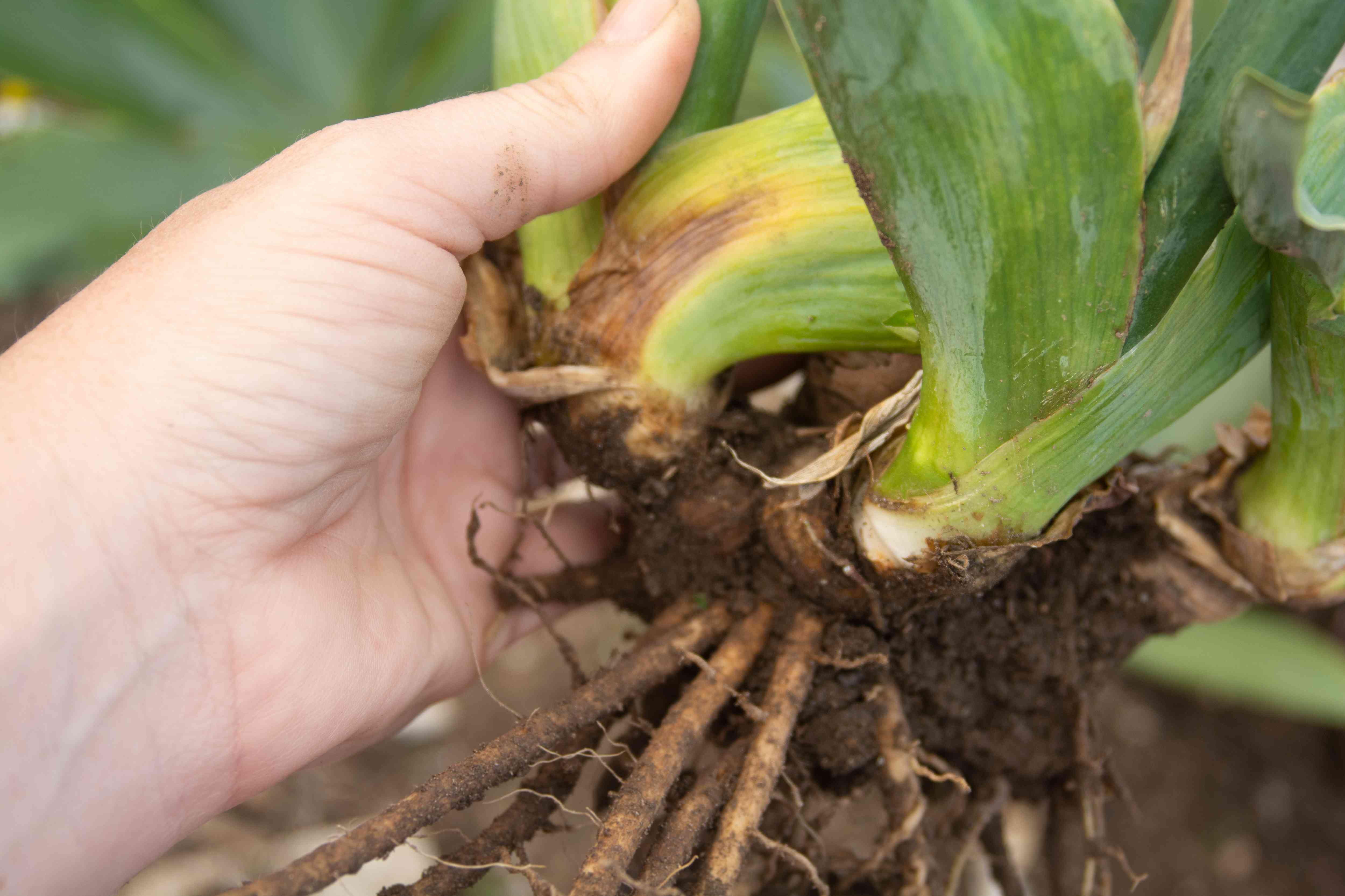 Bearded iris plant rhizomes dug up and lifted from ground