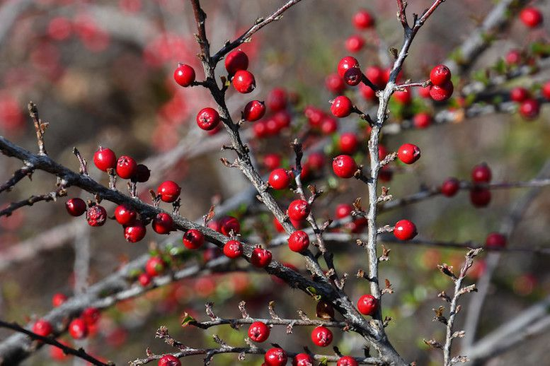Bright red berries on bare grey branches