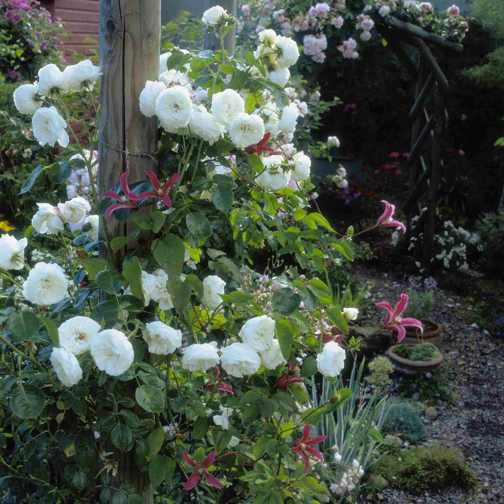 Clarence House rose with white blossoms