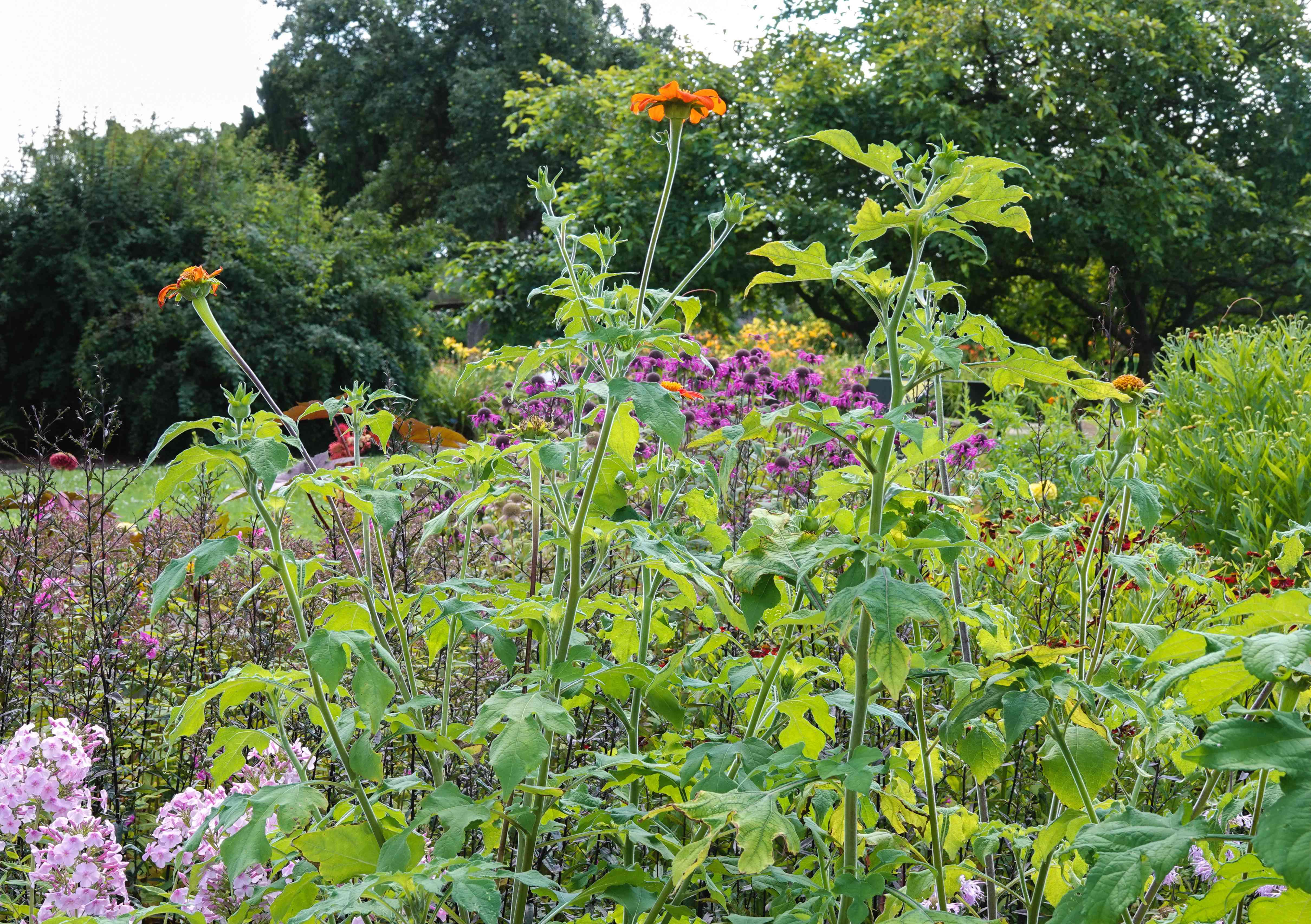 Mexican sunflower plant with tall thin stems and orange flowers on top in garden