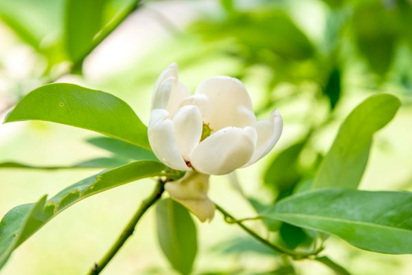 Sweetbay magnolia tree branch with small white flower surrounded by lance-shaped leaves