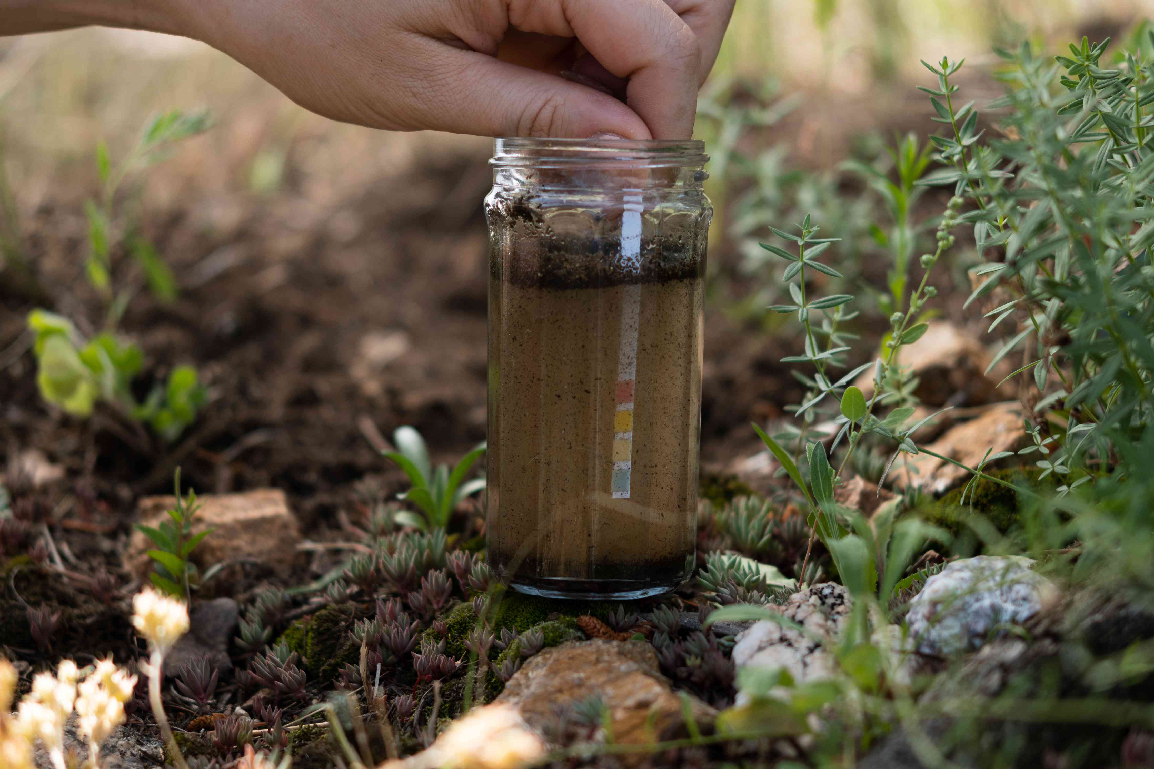 Soil being tested for acidity with pH strips in glass jar of water