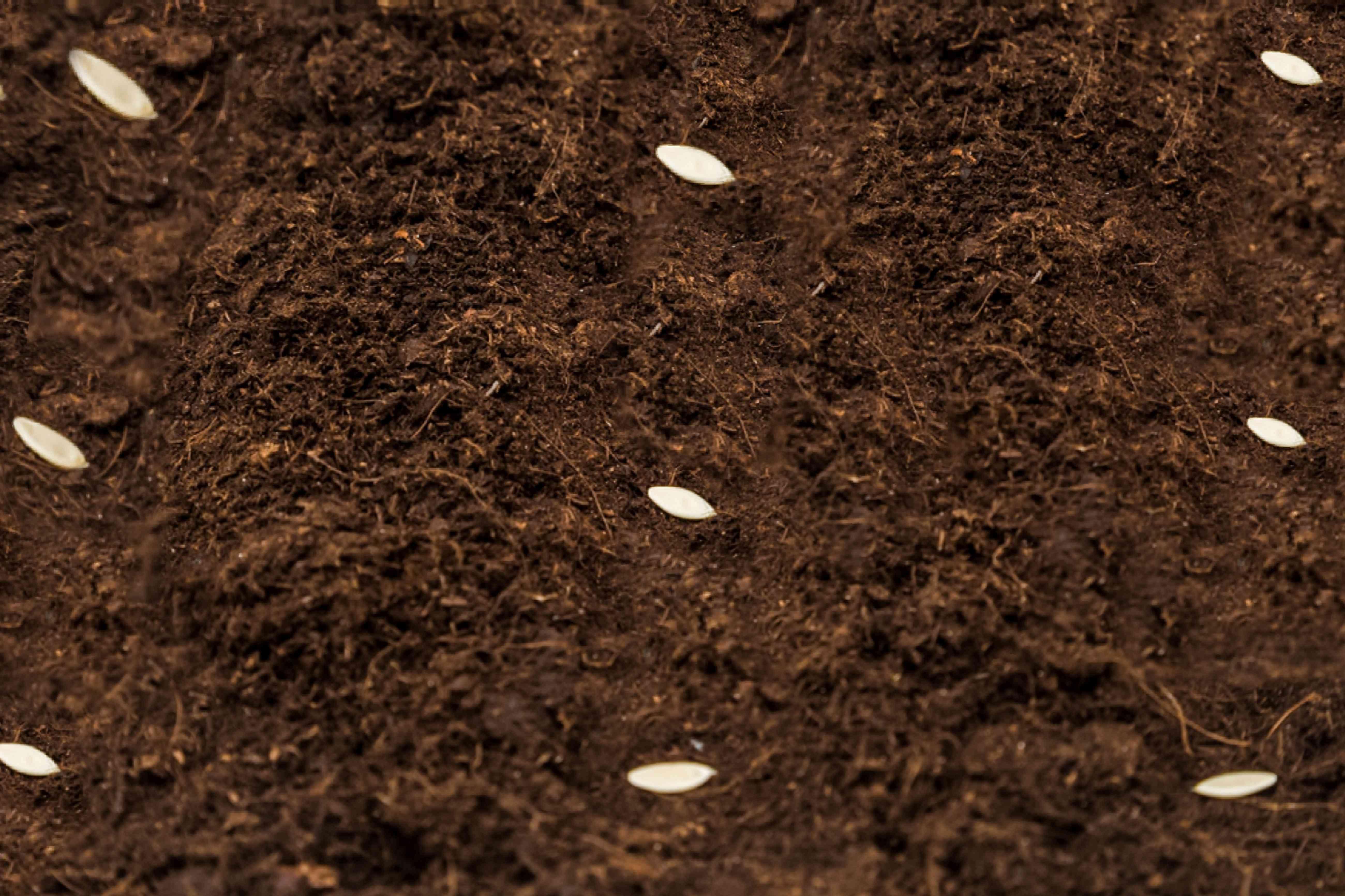 planting cucumber seeds