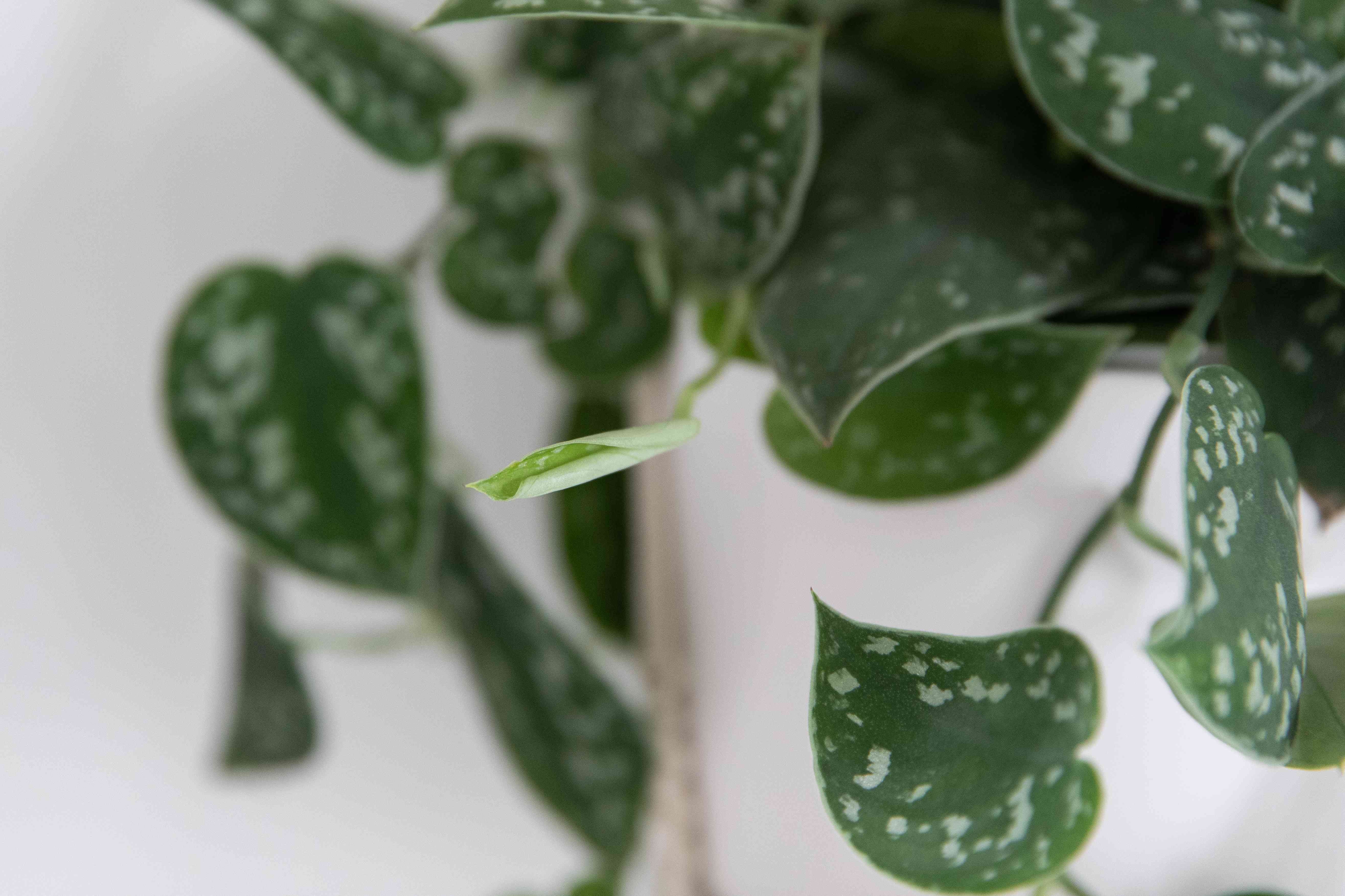 Satin pothos with spotted leaves and unfurling bud closeup