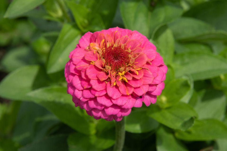 hot pink zinnia flower