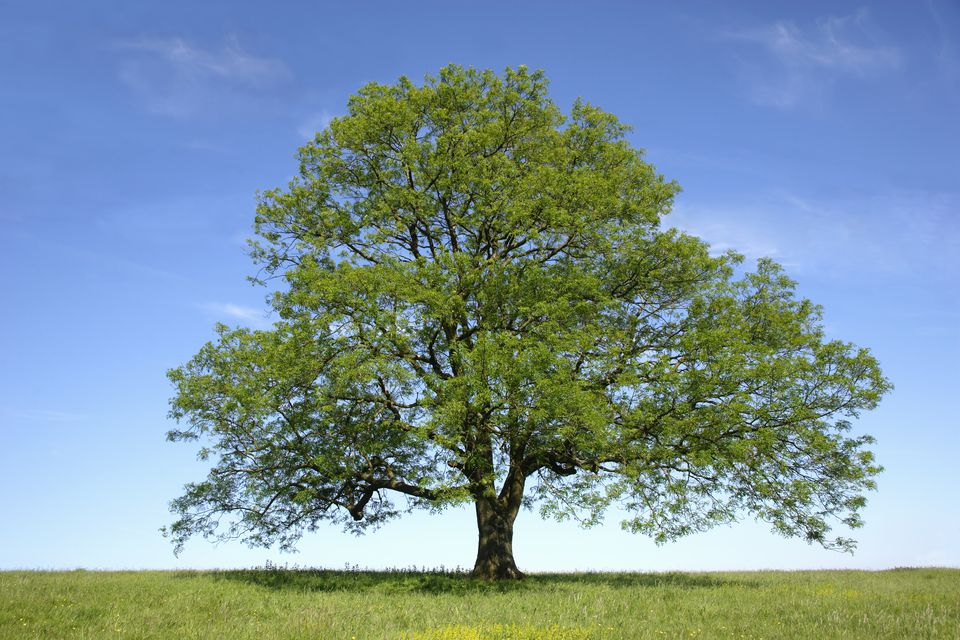 Ash (Fraxinus sp.) tree in field, spring