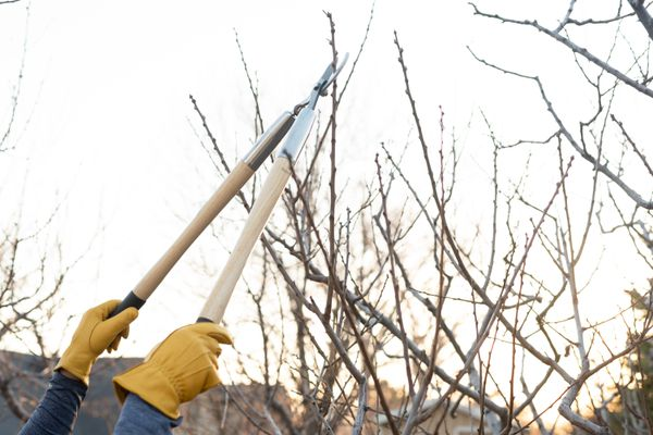Plum tree bare branches being pruned with long loppers