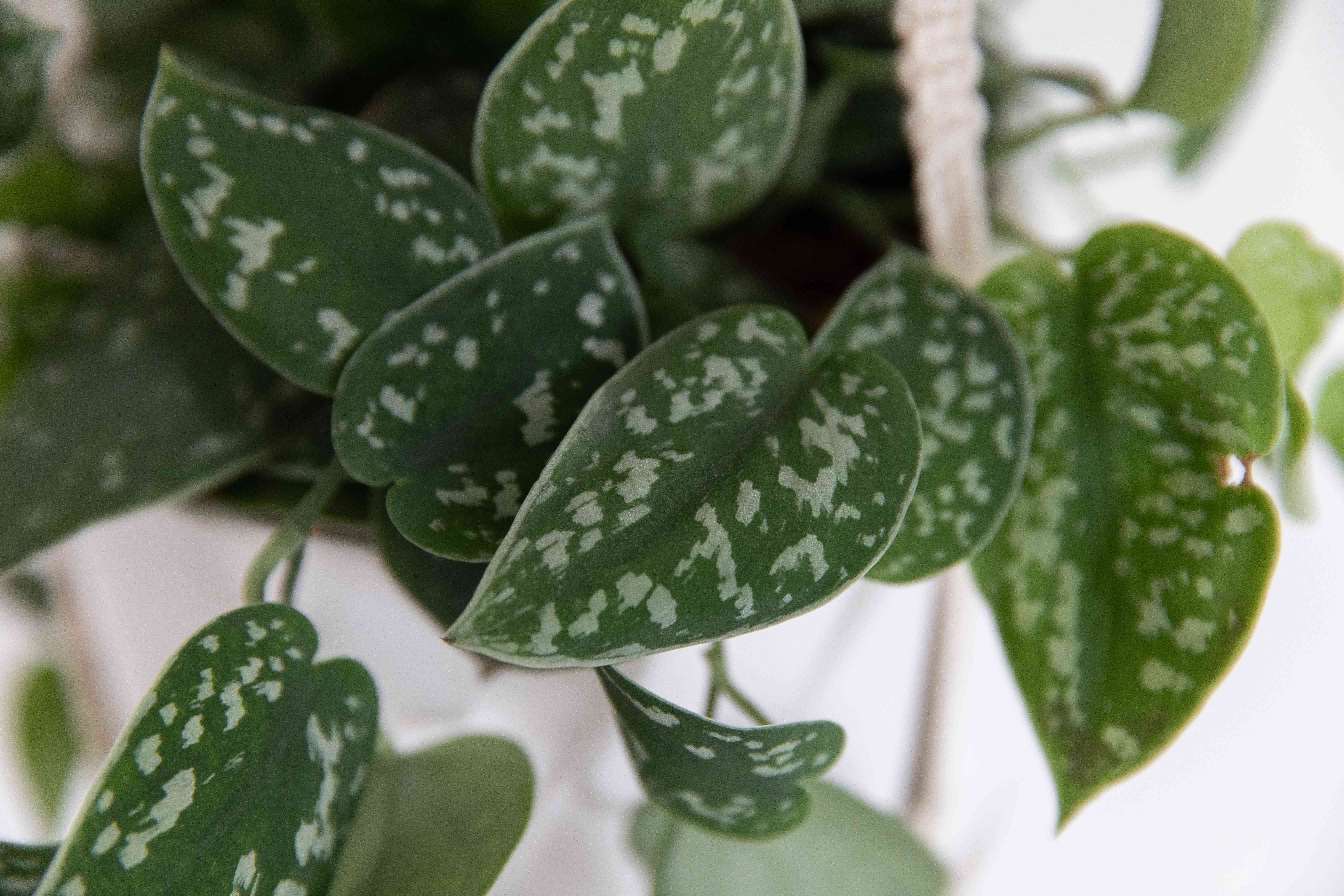 Satin pothos with spotted leaves closeup