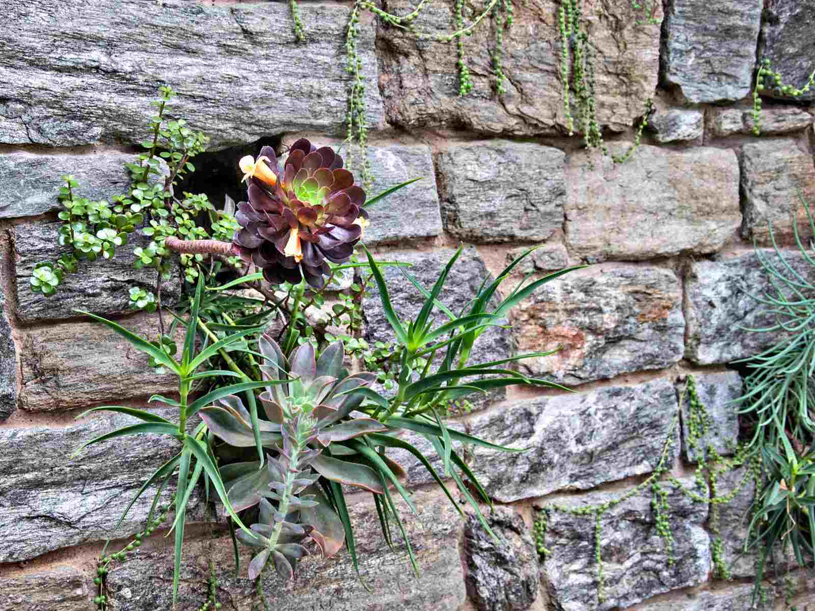 A rosette of aeonium growing out of a wall