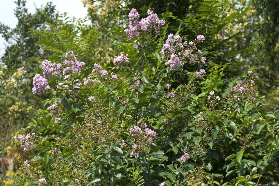 Crapemyrtle tree with pink flowers in sunlight