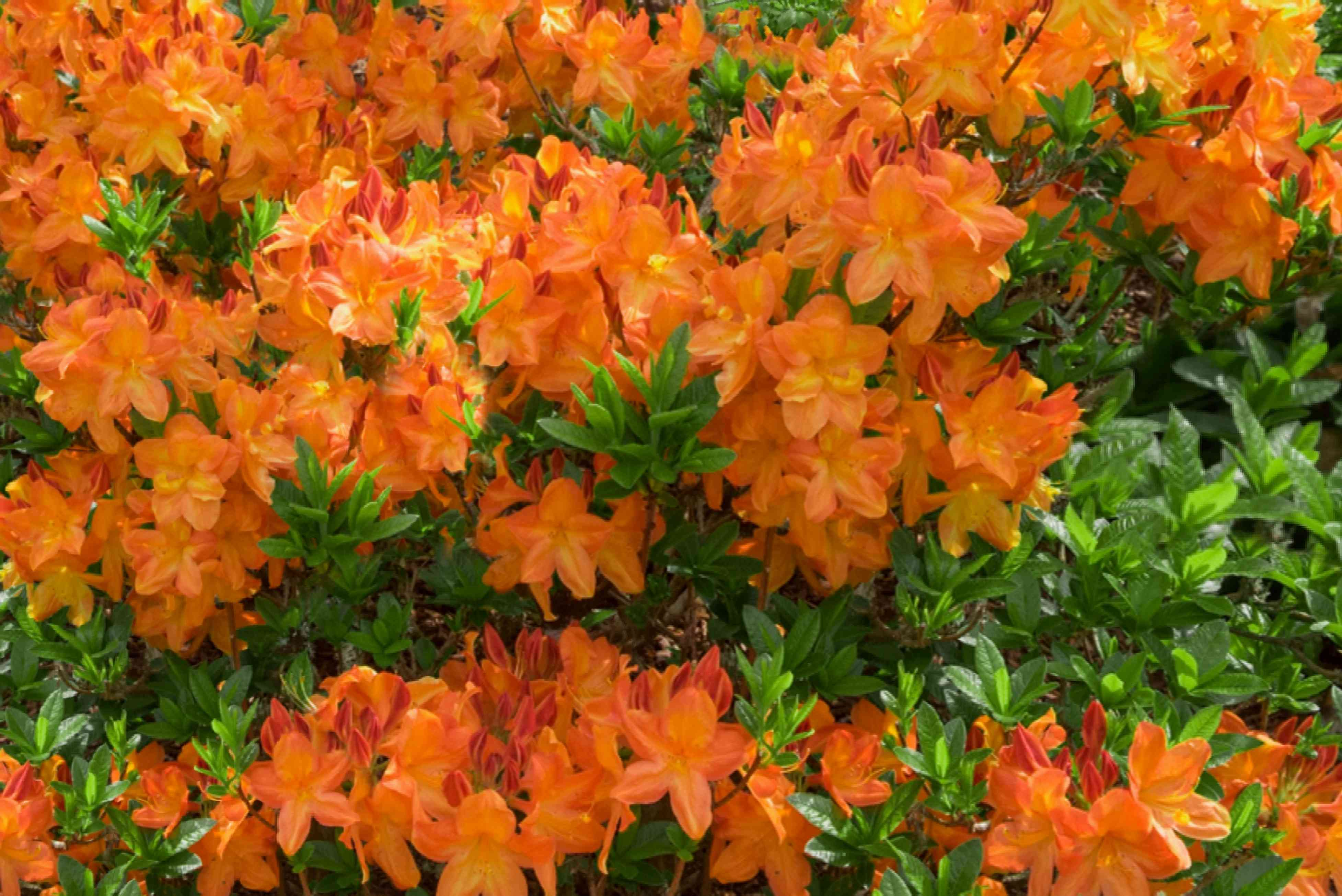 Gibraltar azalea flowering shrub with orange funnel-like petal tresses surrounded by leaves