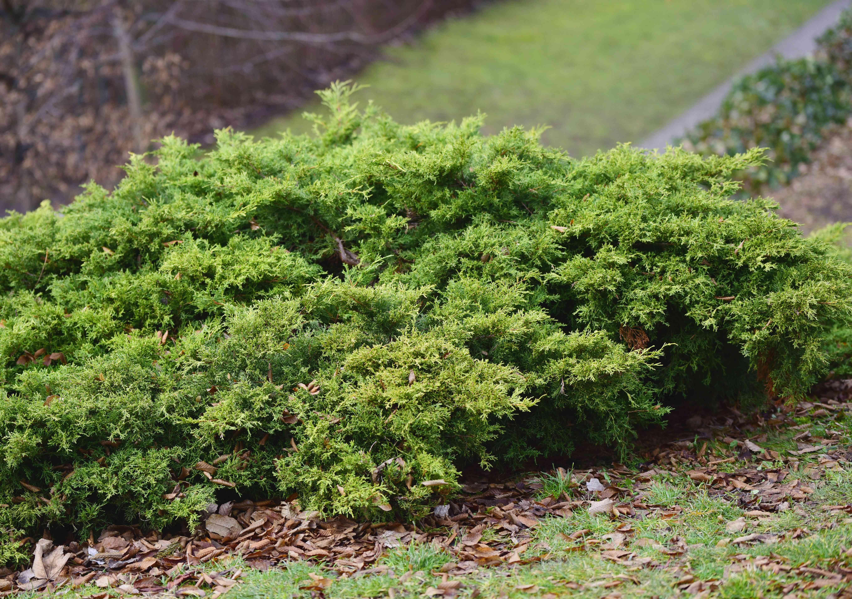 Creeping juniper bush on a hill