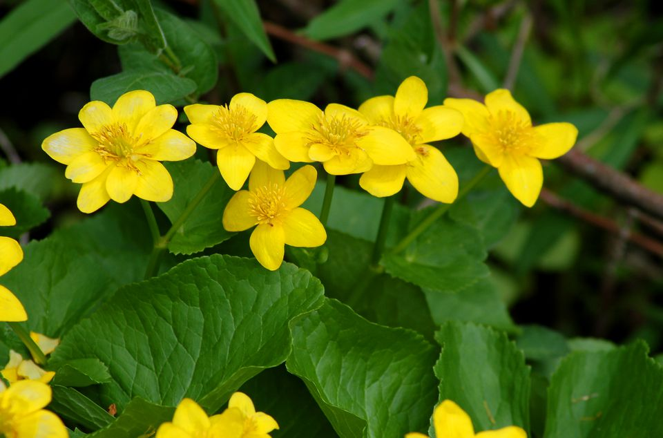 Yellow flowers of marsh marigolds growing in a swamp.