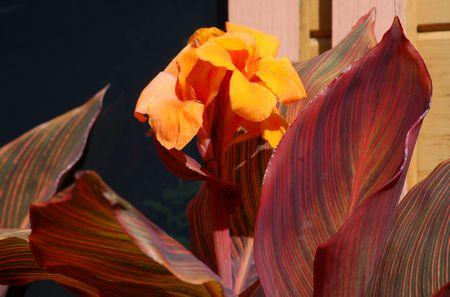 Tropicanna Canna Plant With Flower