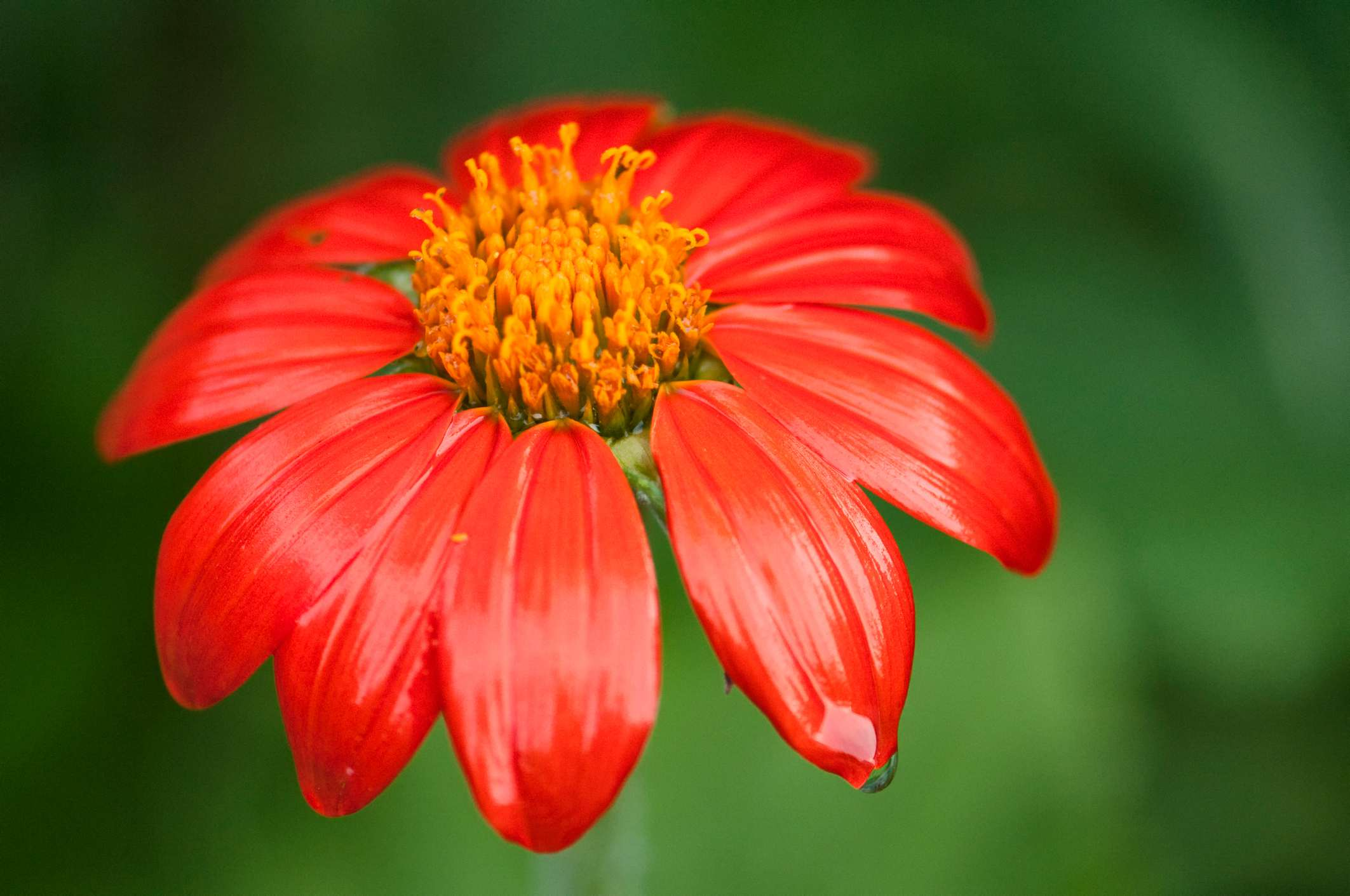 bright orange-red Mexican sunflower